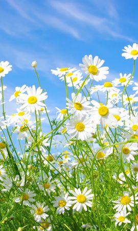 41108 télécharger le fond d'écran Plantes, Fleurs, Camomille - économiseurs d'écran et images gratuitement