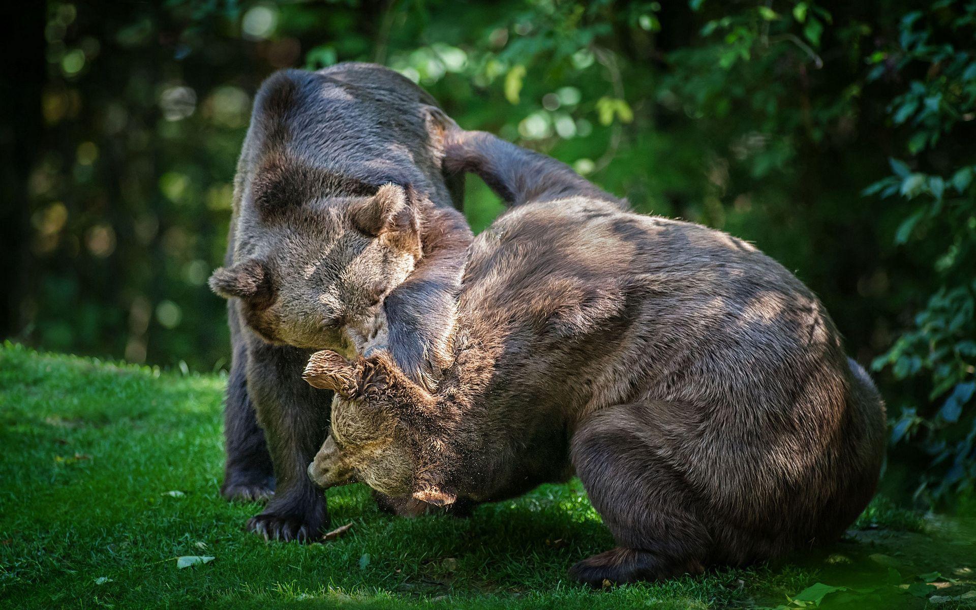 138111 Заставки и Обои Медведи на телефон. Скачать Животные, Трава, Медведи, Пара, Драка картинки бесплатно