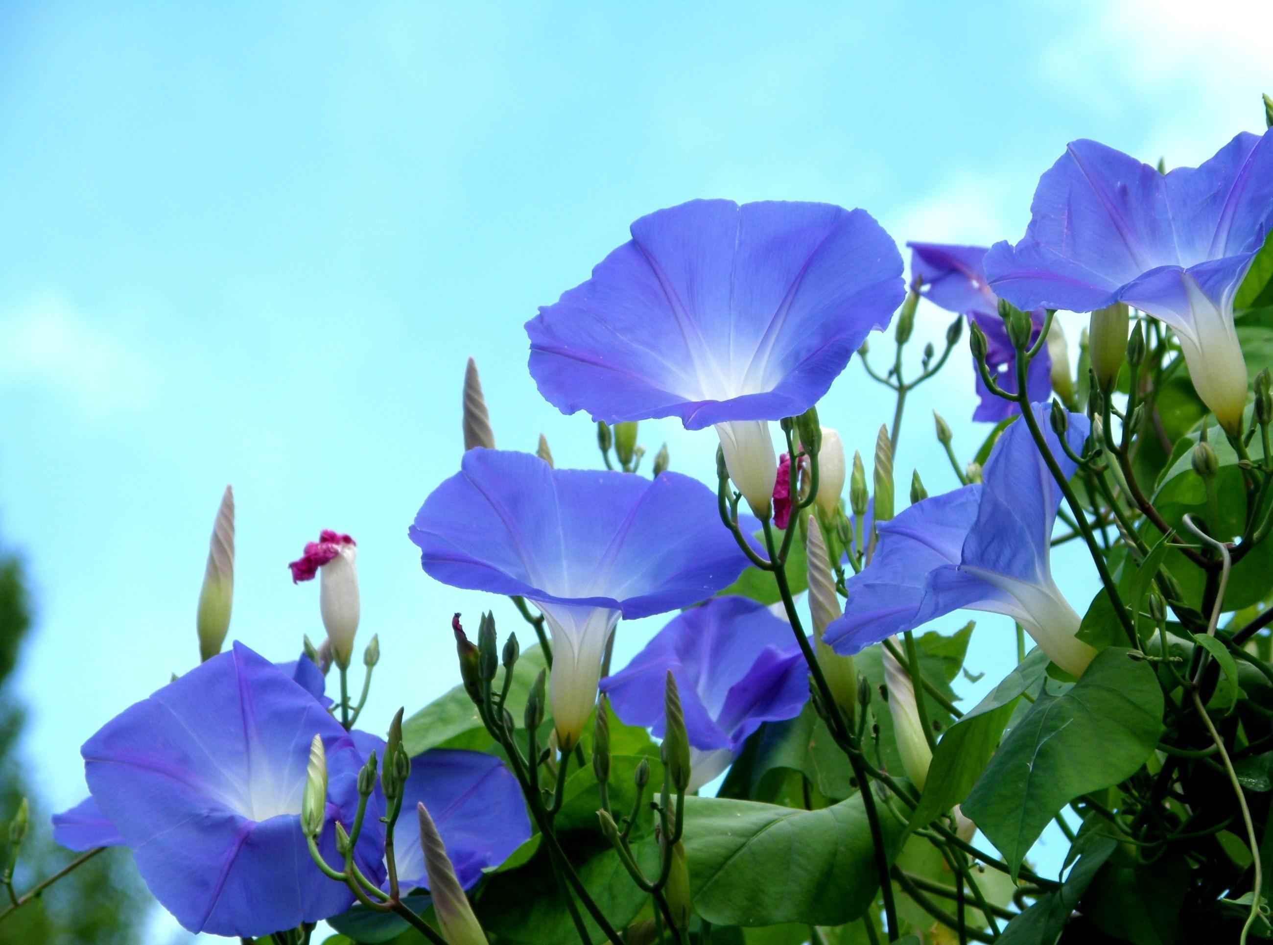 85714 télécharger le fond d'écran Fleurs, Sky, Liseron, Légumes Verts, Verdure, Bourgeons, Le Wonkie - économiseurs d'écran et images gratuitement