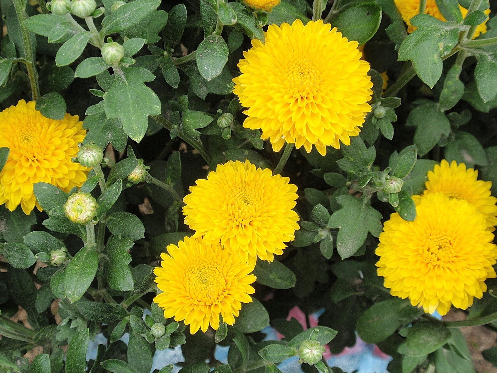 2371 скачать обои Растения, Цветы, Хризантемы - заставки и картинки бесплатно