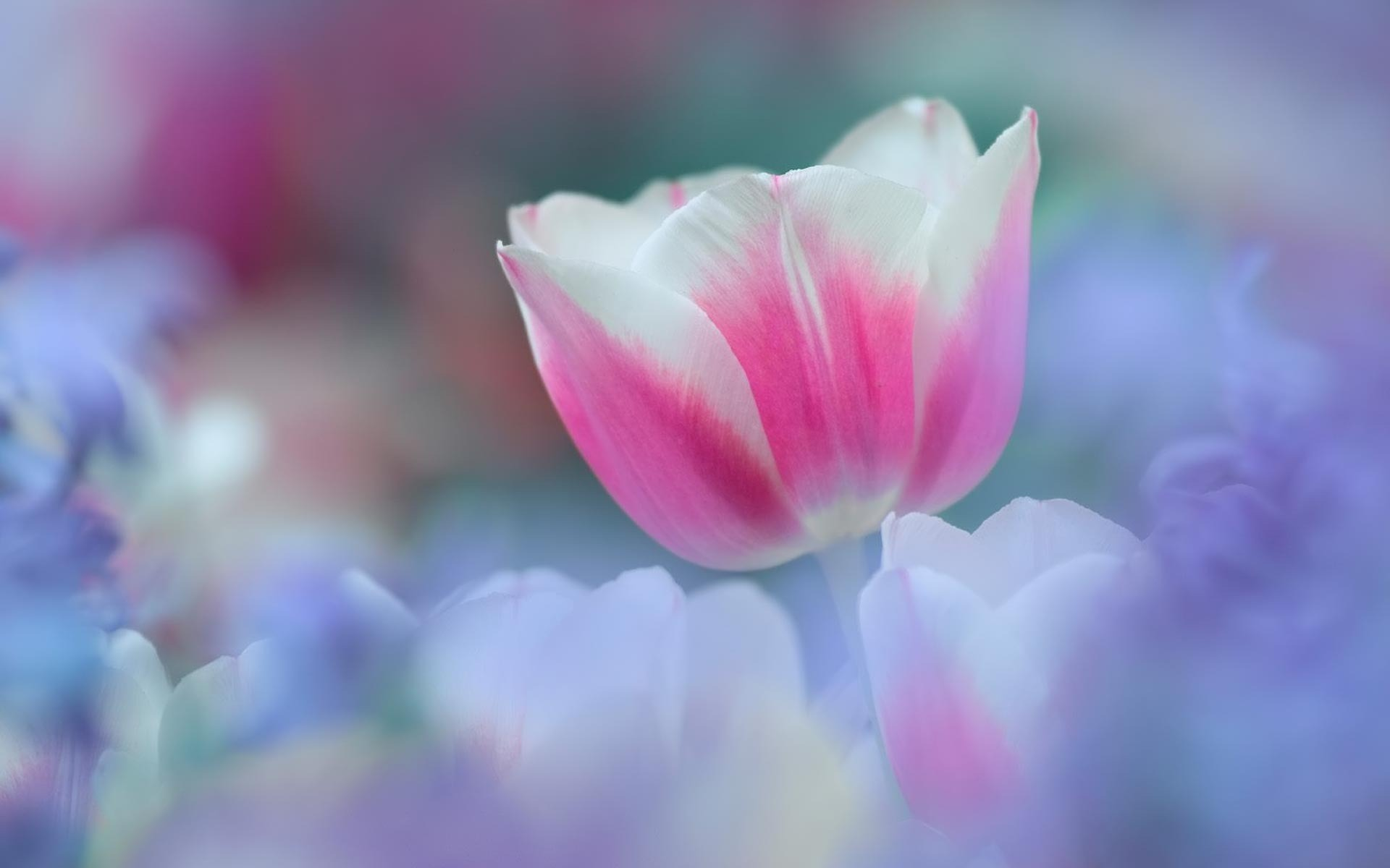 21579 скачать обои Растения, Цветы, Тюльпаны - заставки и картинки бесплатно