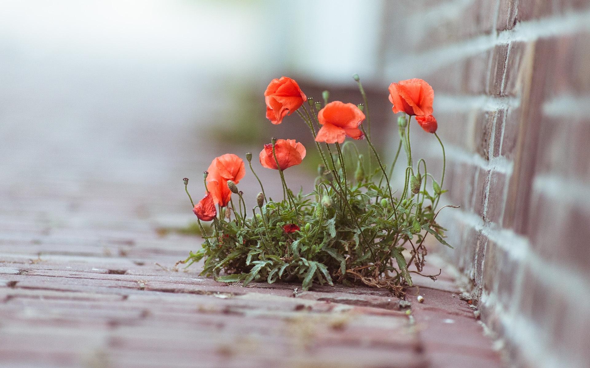 48648 скачать обои Растения, Цветы, Маки - заставки и картинки бесплатно