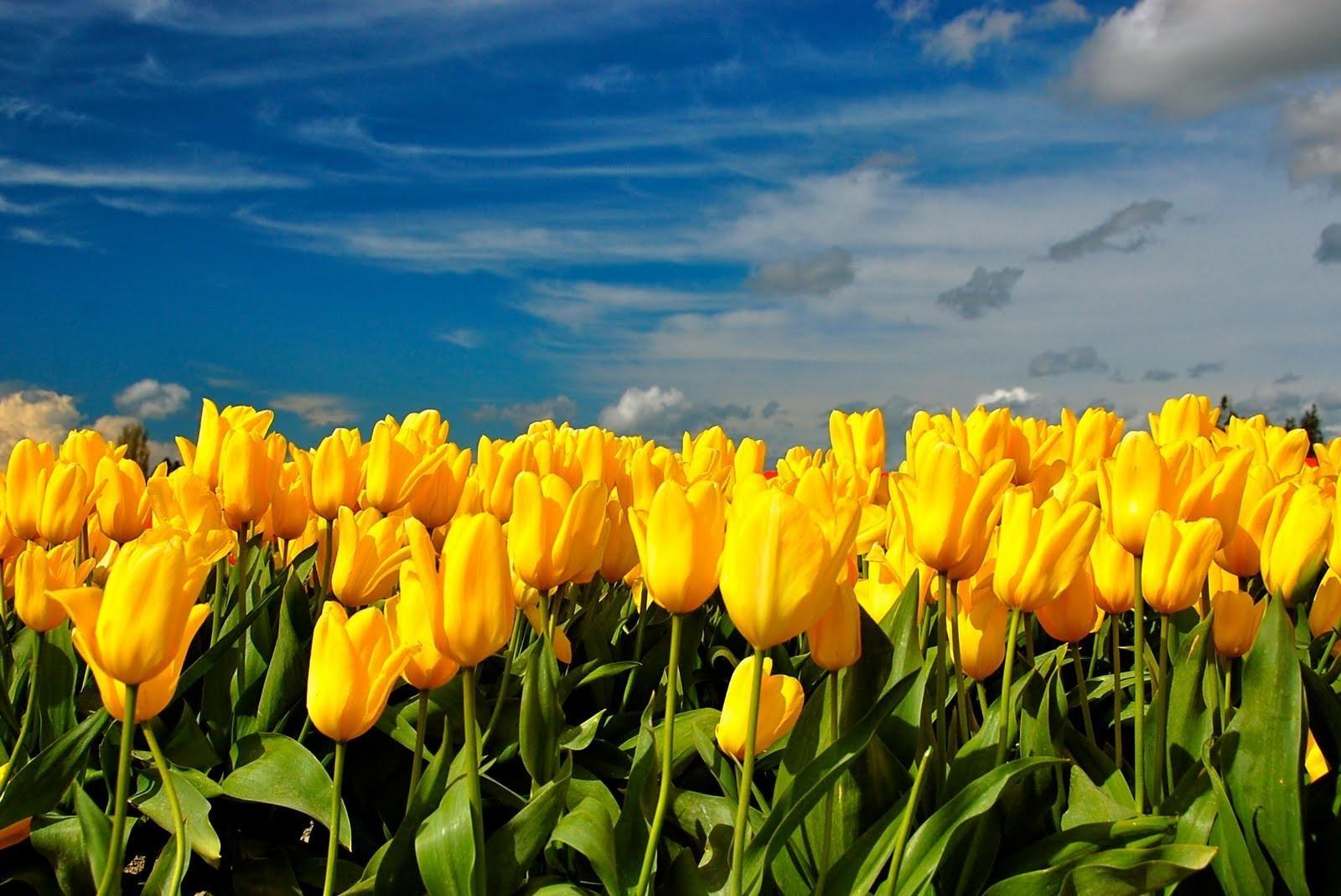 139840 descargar fondo de pantalla Flores, Primavera, Cielo, Nubes, Tulipanes: protectores de pantalla e imágenes gratis