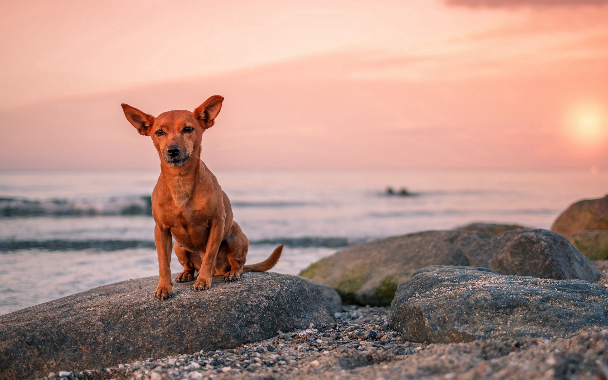 65029 download wallpaper Animals, Dog, Puppy, Rock, Stone, Sea screensavers and pictures for free