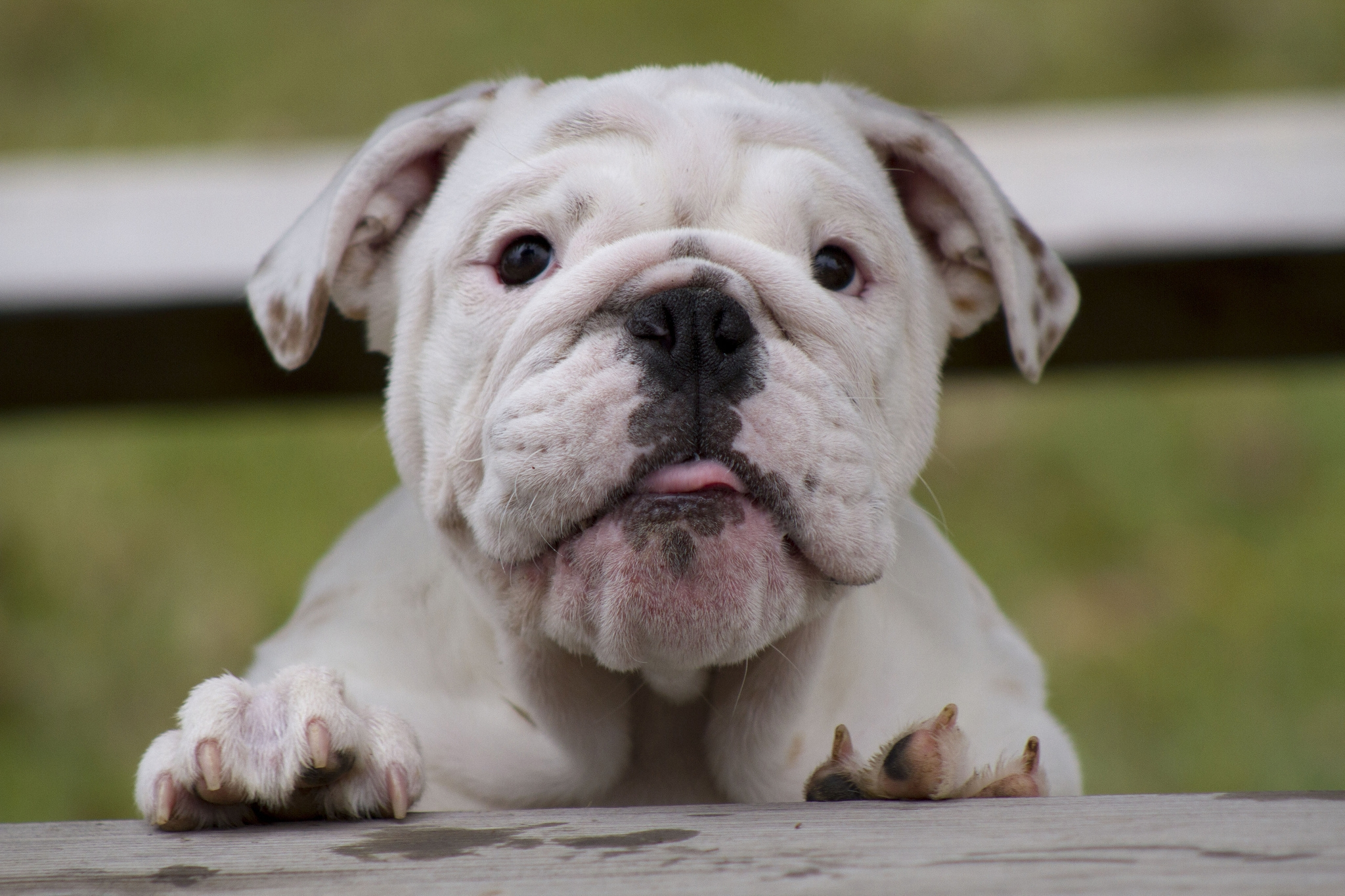 78706 download wallpaper Animals, Bulldog, Dog, Muzzle, Fat, Thick, Watch, To Watch screensavers and pictures for free
