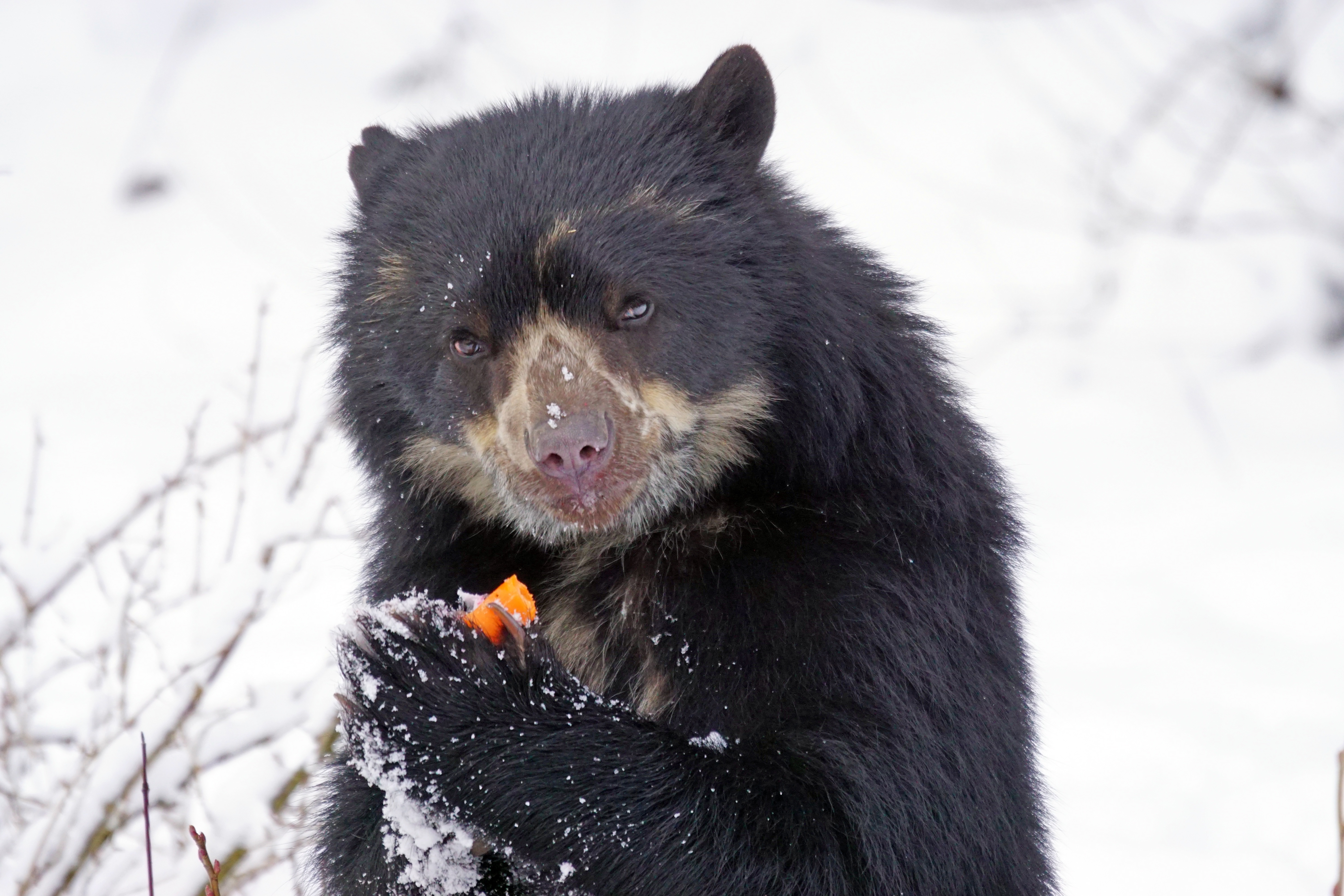 107251 download wallpaper Animals, Spectacled Bear, Andean Bear, Cool screensavers and pictures for free