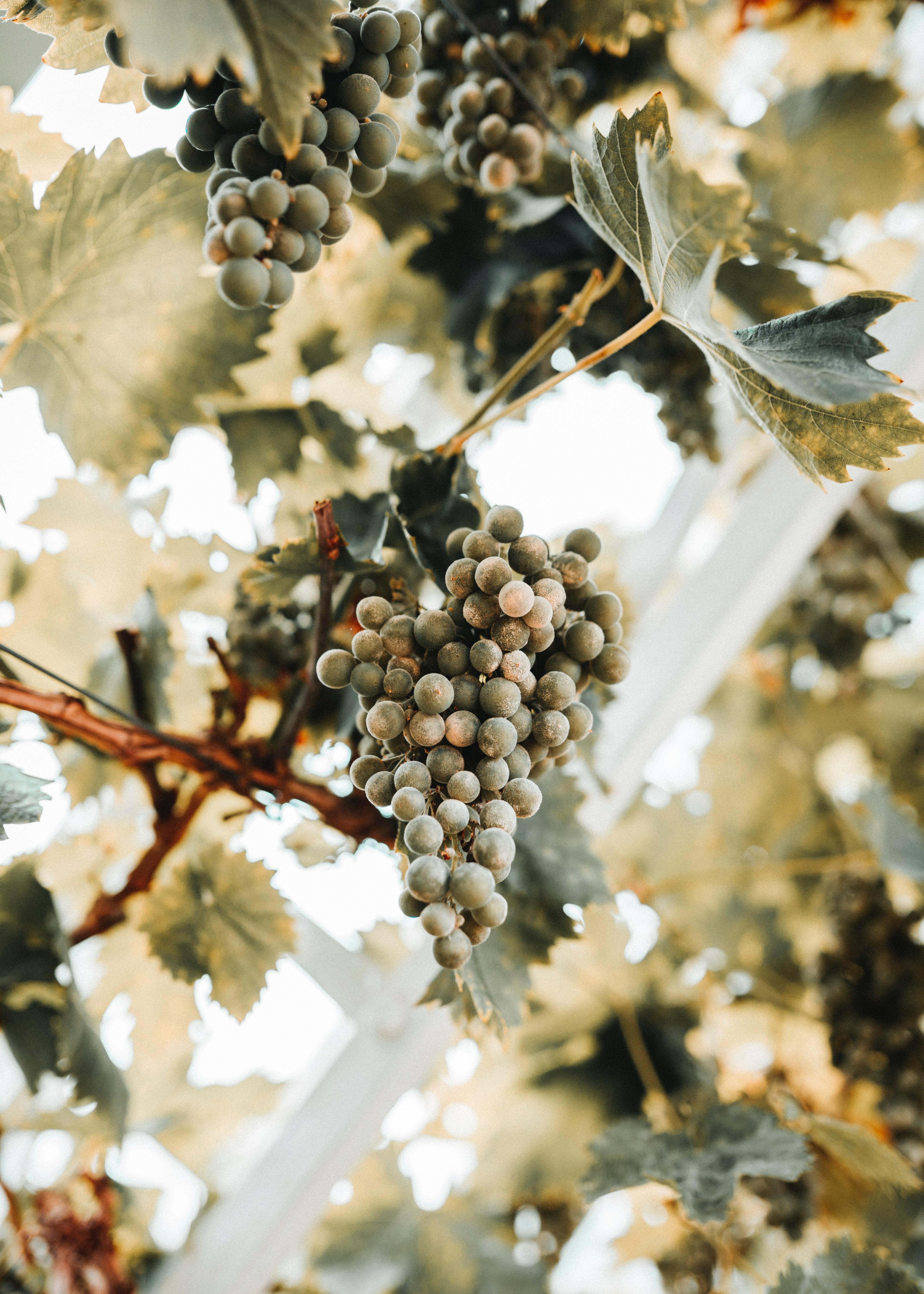 154158 скачать обои Разное, Виноград, Гроздь, Спелый, Лоза, Листья - заставки и картинки бесплатно