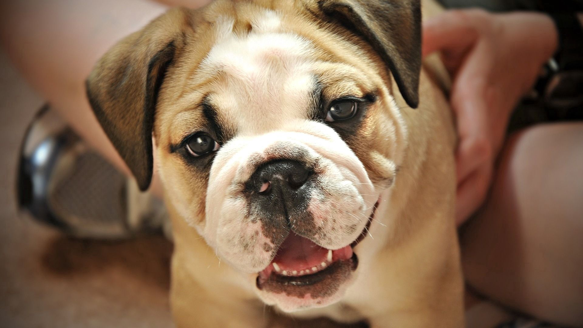 112302 download wallpaper Animals, Dog, Small, Petite, Puppy, Nice, Sweetheart, Muzzle screensavers and pictures for free