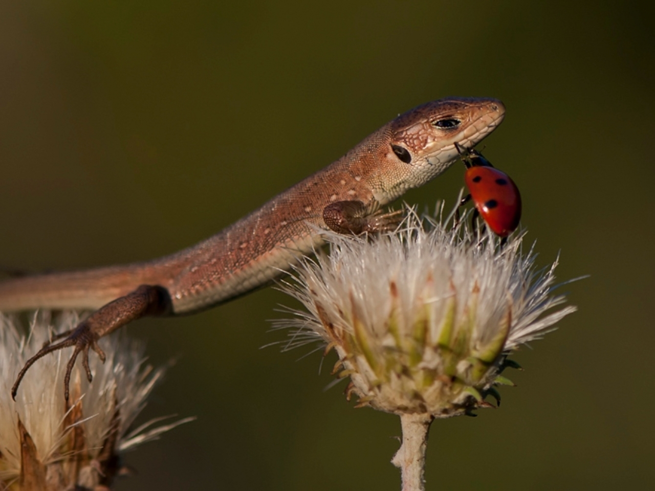 25180 download wallpaper Animals, Insects, Lizards, Ladybugs screensavers and pictures for free