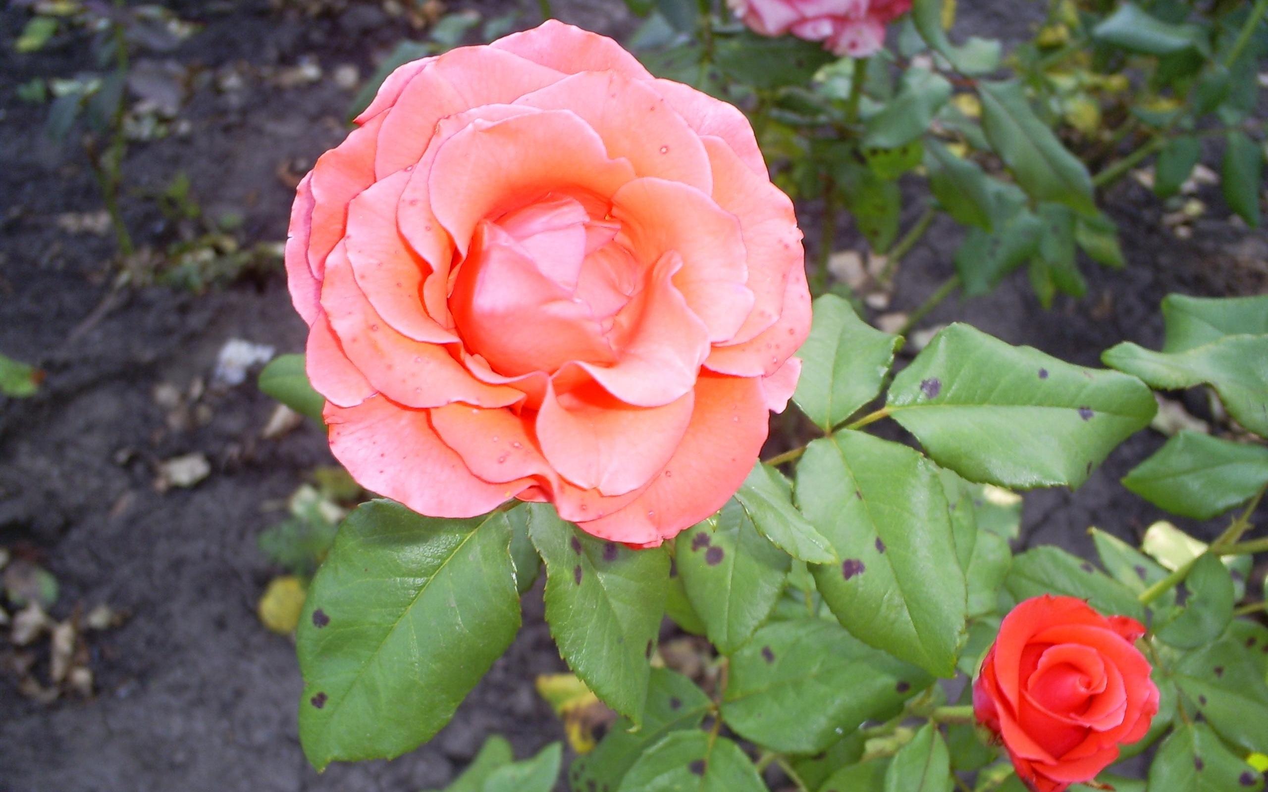 3565 скачать обои Растения, Цветы, Розы - заставки и картинки бесплатно