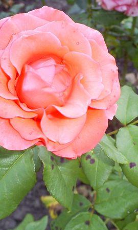3565 descargar fondo de pantalla Plantas, Flores, Roses: protectores de pantalla e imágenes gratis
