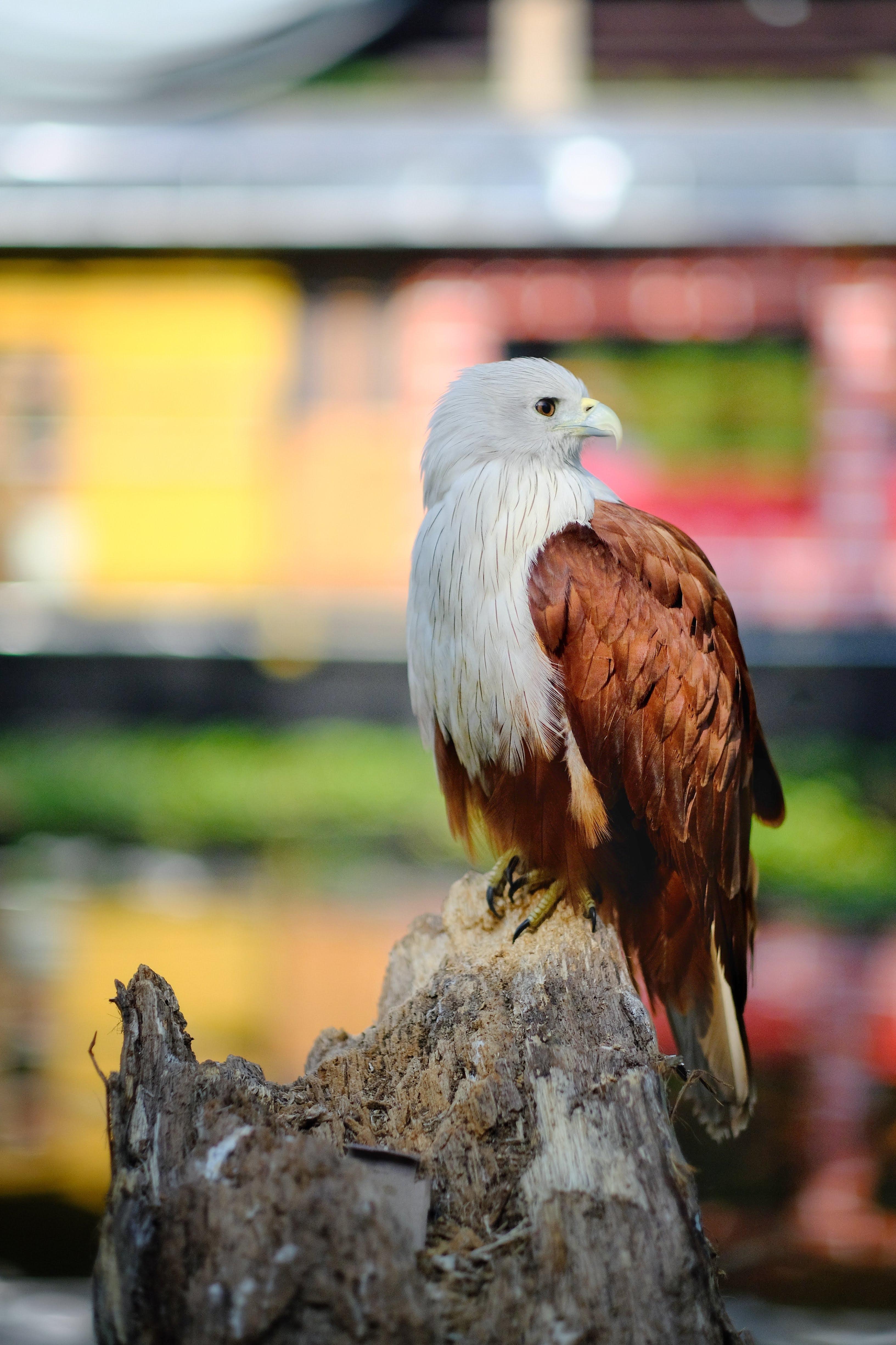51742 скачать обои Животные, Орел, Птица, Белый, Коричневый, Дикая Природа - заставки и картинки бесплатно