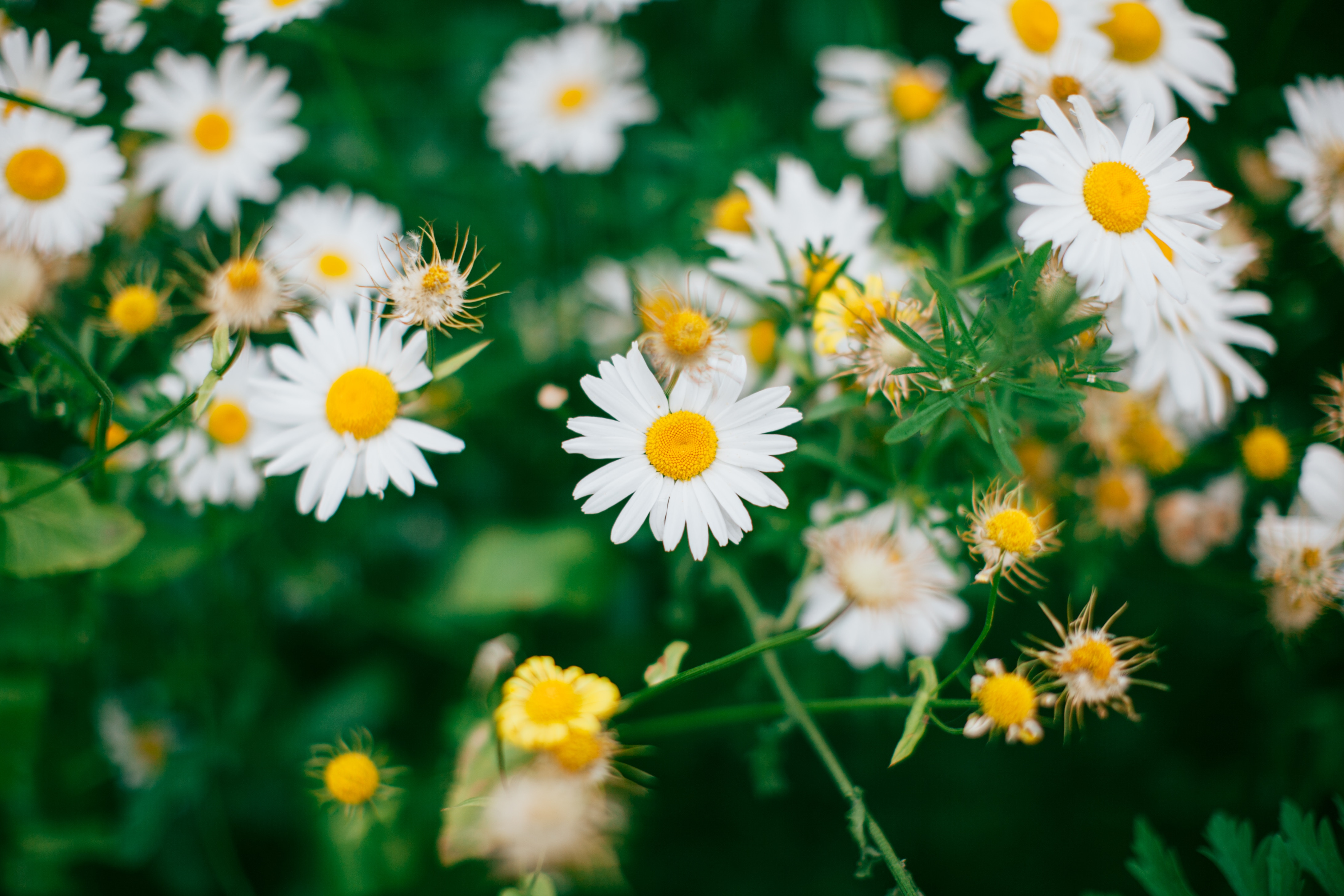 104187 Заставки и Обои Ромашки на телефон. Скачать Цветы, Ромашки, Цветение, Полевой, Размытость картинки бесплатно
