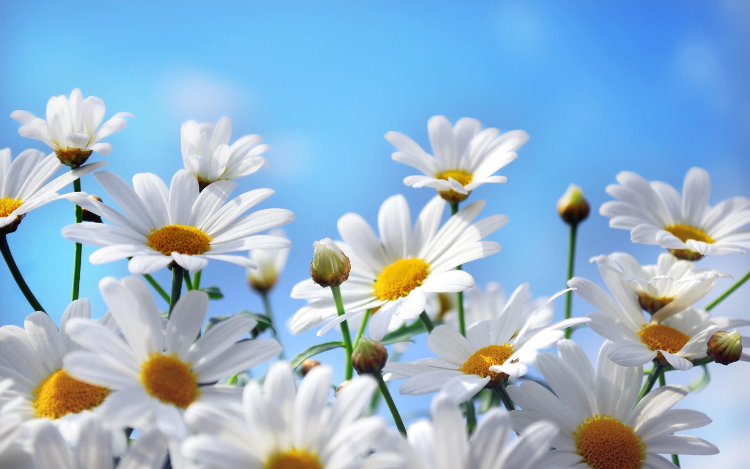 43599 скачать обои Ромашки, Растения, Цветы - заставки и картинки бесплатно
