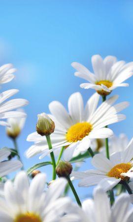 43599 скачать обои Растения, Цветы, Ромашки - заставки и картинки бесплатно