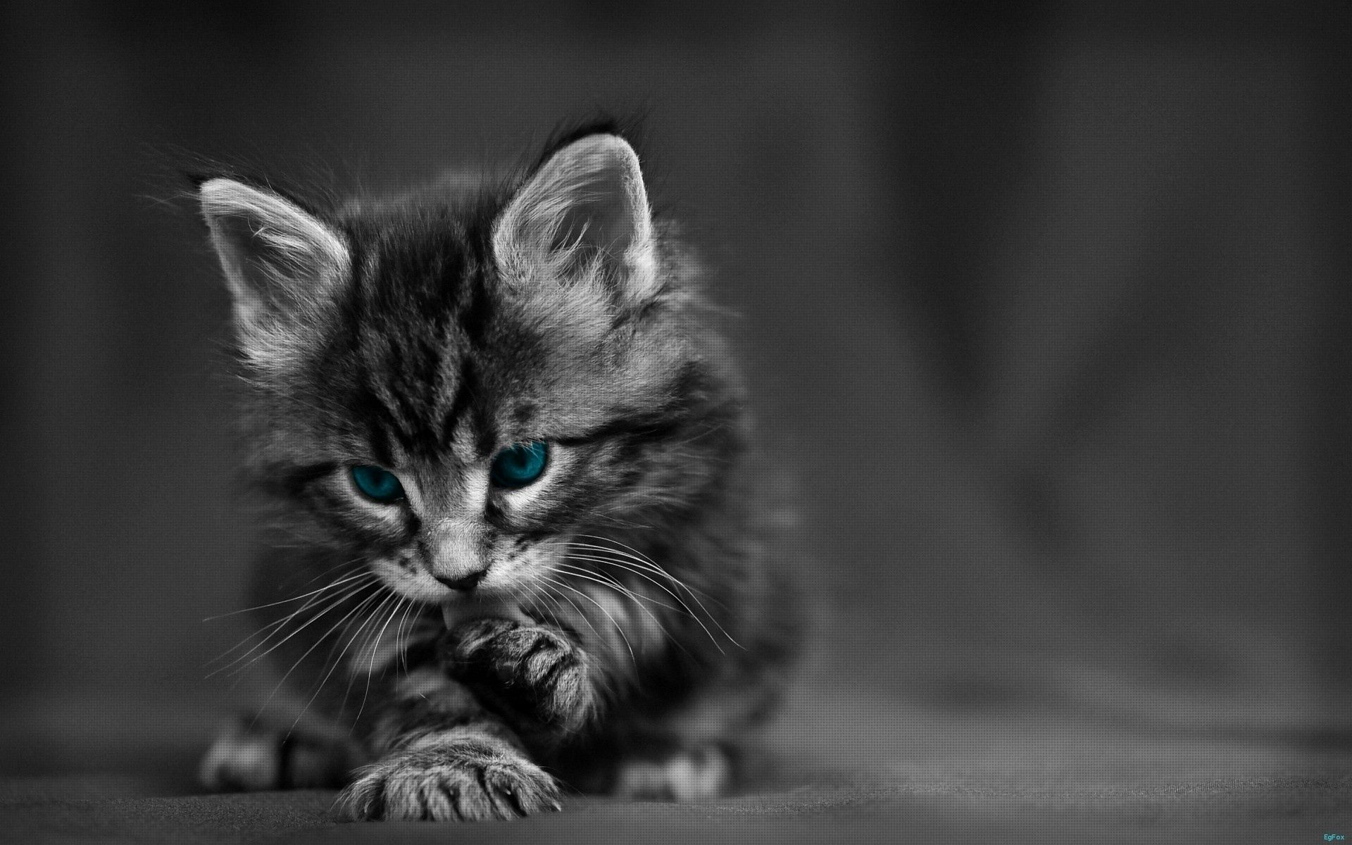 89523 Screensavers and Wallpapers Bw for phone. Download Bw, Animals, Cat, Eyes, Beautiful, Grey, Chb, Kid, Tot pictures for free