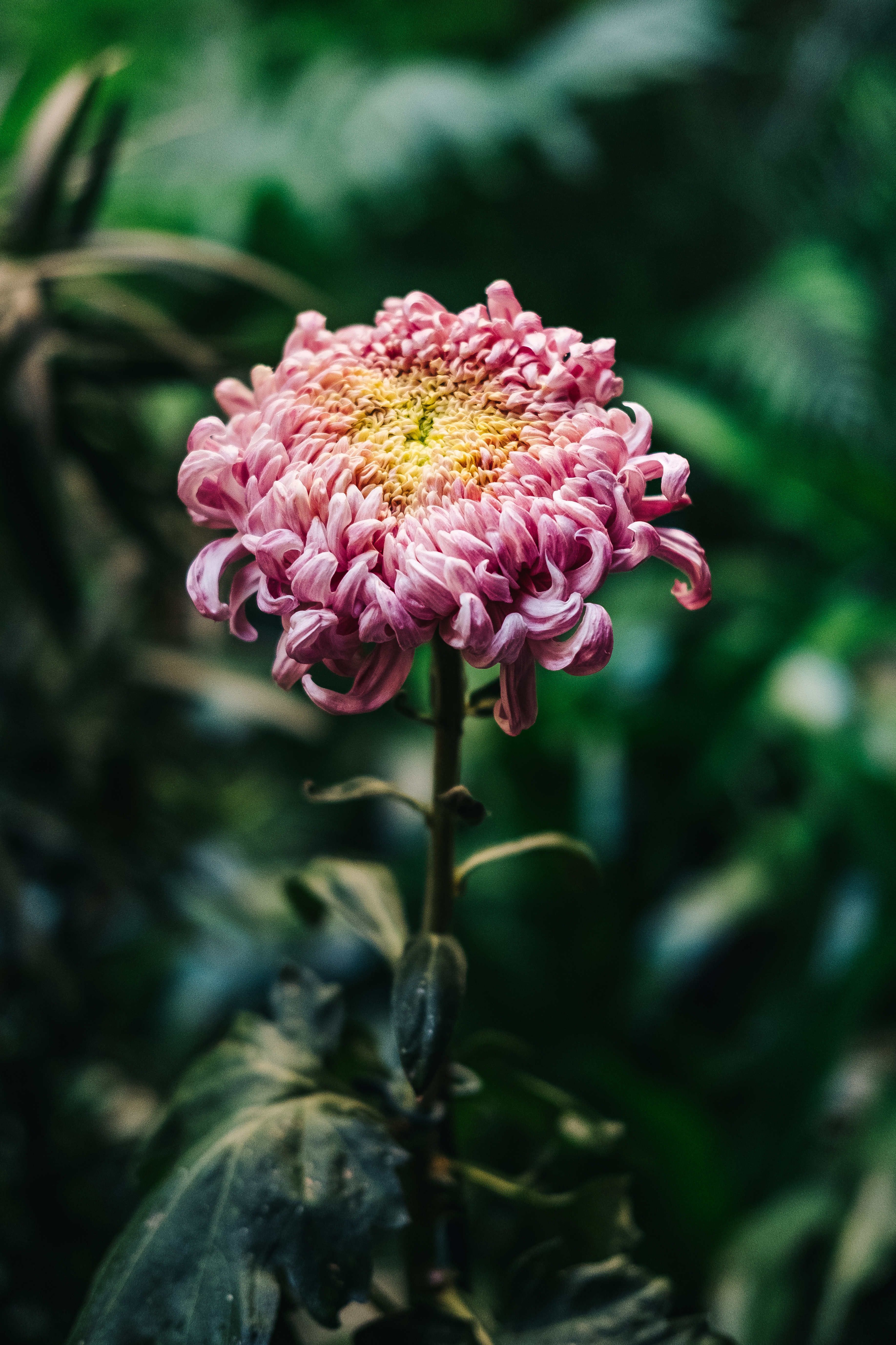 140426 download wallpaper Flowers, Chrysanthemum, Pink, Bud, Stem, Stalk, Blur, Smooth screensavers and pictures for free