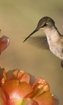 156025 download wallpaper Animals, Humming-Birds, Bird, Flower, Flight, Sweep, Wave screensavers and pictures for free