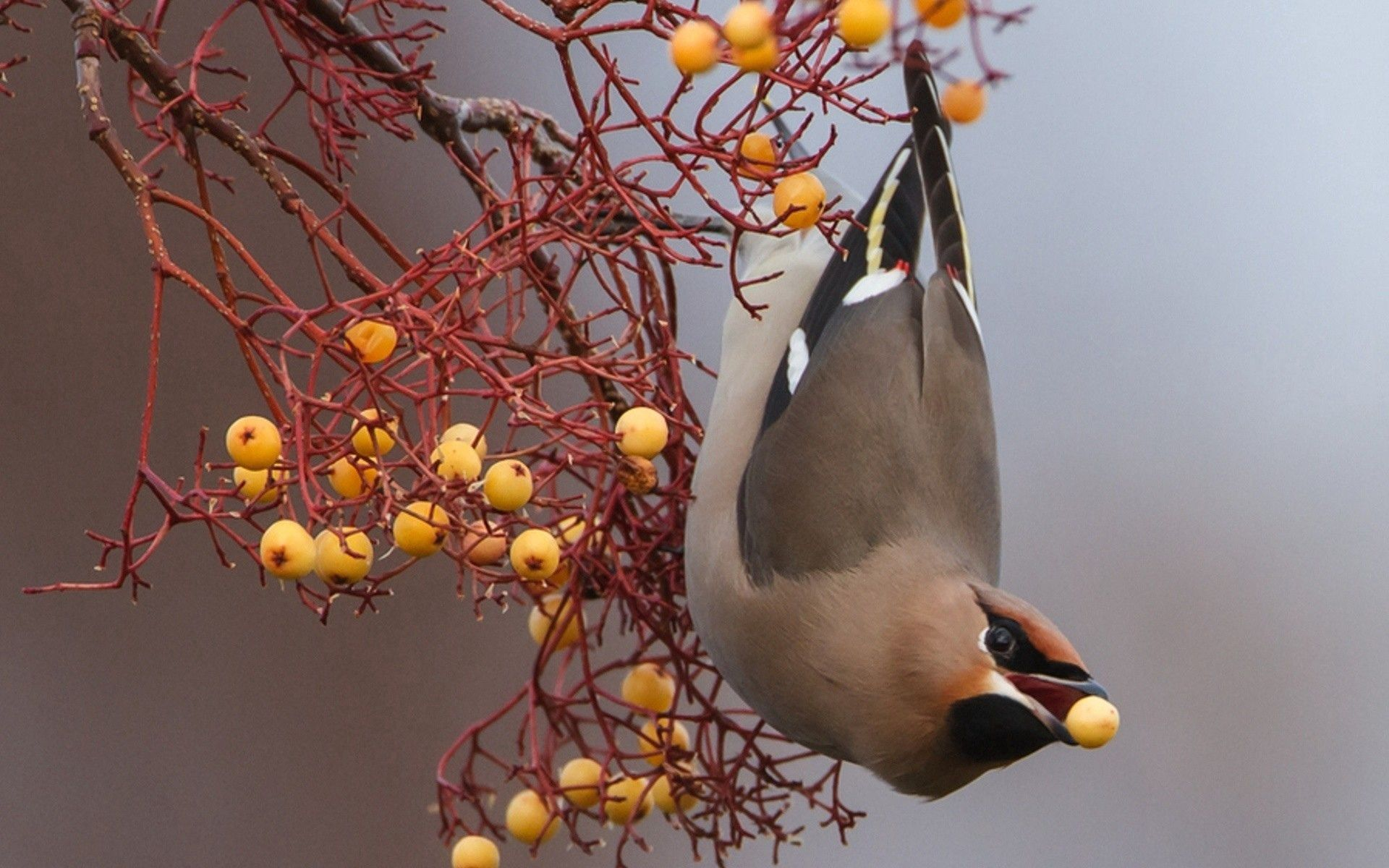 90985 download wallpaper Animals, Food, Berries, Bird, Branch screensavers and pictures for free