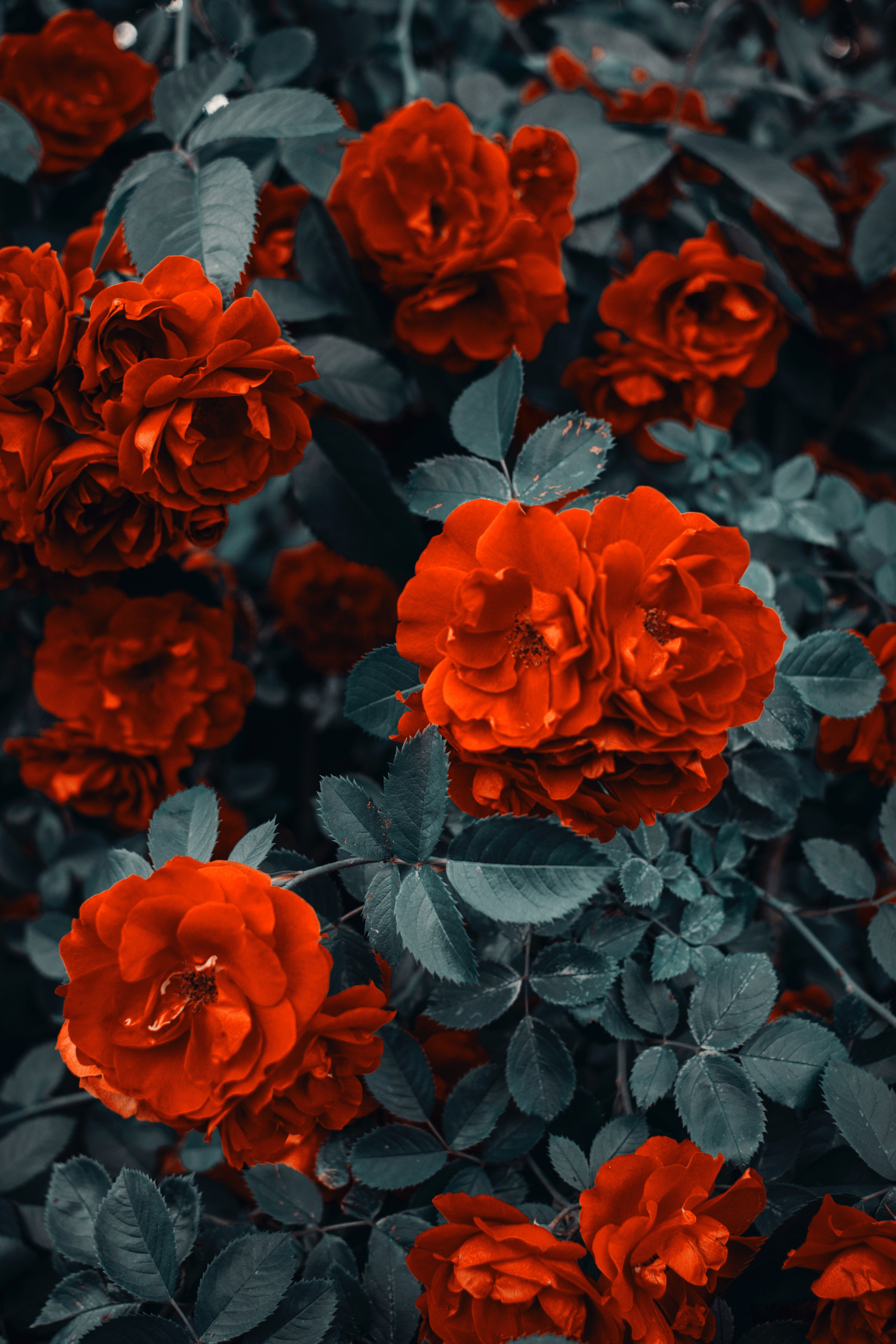 142899 download wallpaper Flowers, Roses, Bush, Buds screensavers and pictures for free
