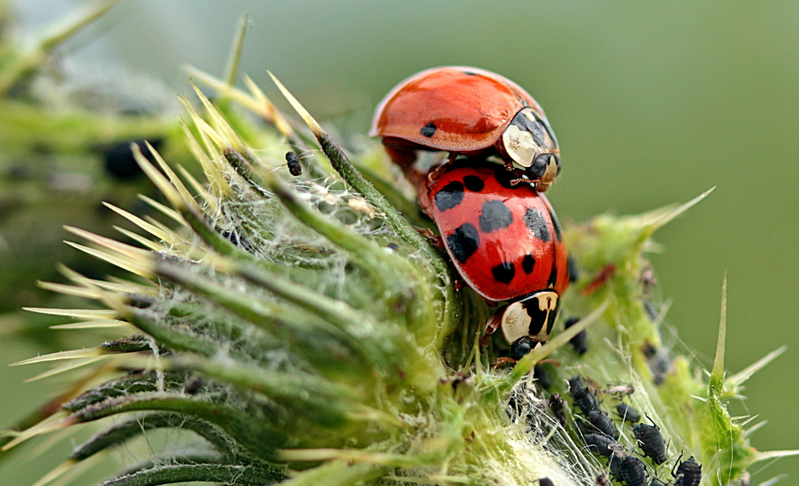 57980 download wallpaper Macro, Ladybugs, Plant, Insects screensavers and pictures for free