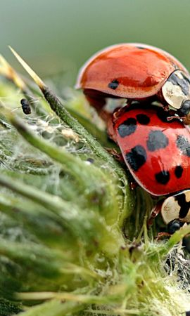 57980 Screensavers and Wallpapers Insects for phone. Download Macro, Ladybugs, Plant, Insects pictures for free