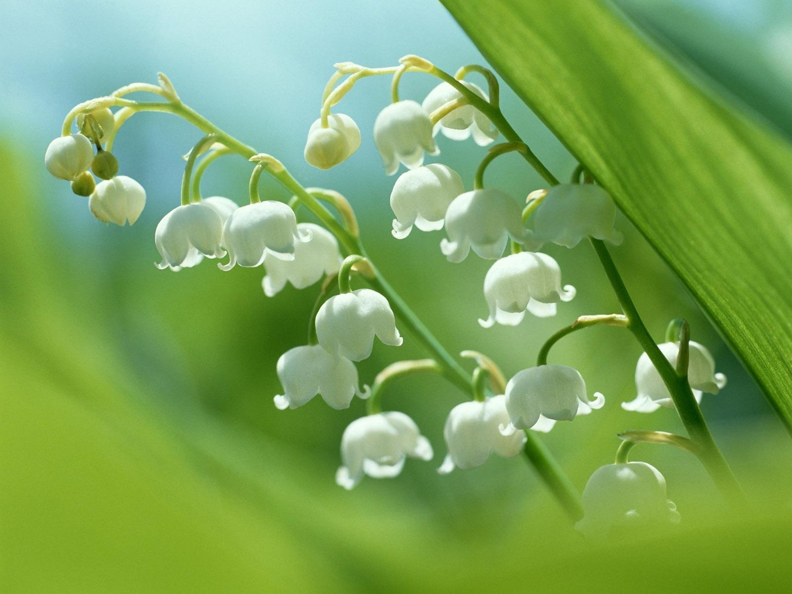 4903 скачать обои Растения, Ландыши, Цветы - заставки и картинки бесплатно