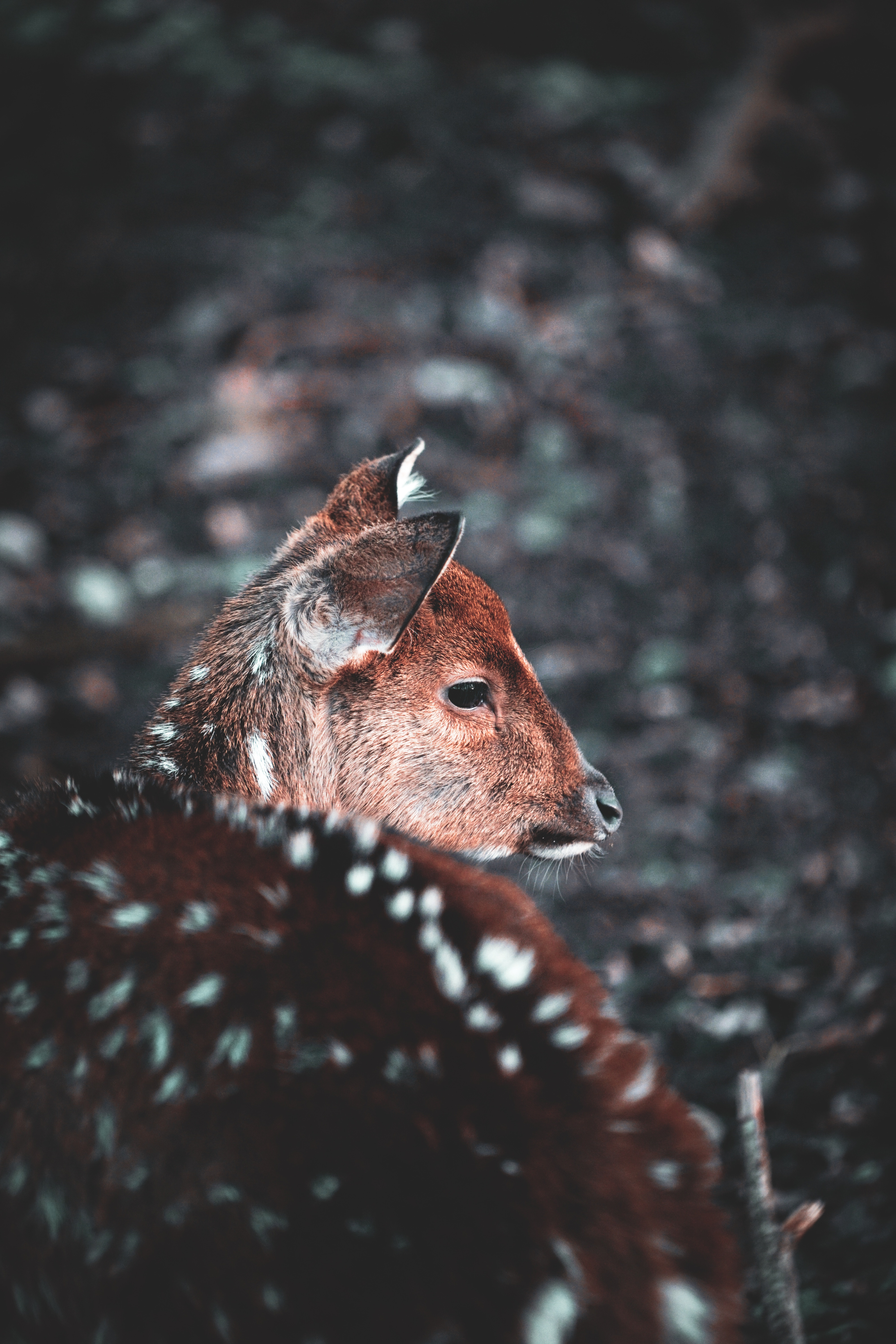 67711 download wallpaper Animals, Deer, Muzzle, Blur, Smooth, Wildlife screensavers and pictures for free
