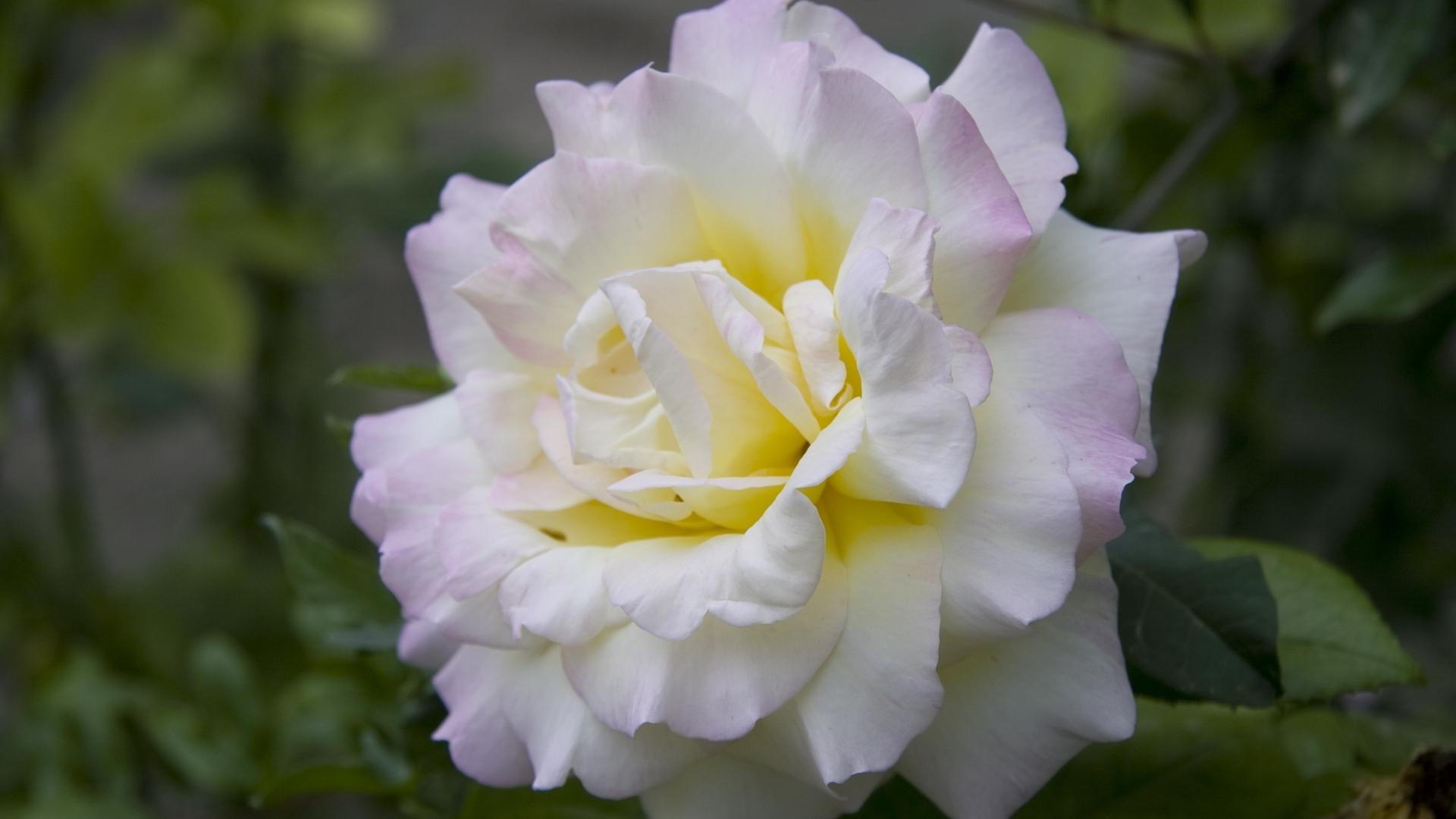 23644 télécharger le fond d'écran Plantes, Fleurs, Roses - économiseurs d'écran et images gratuitement