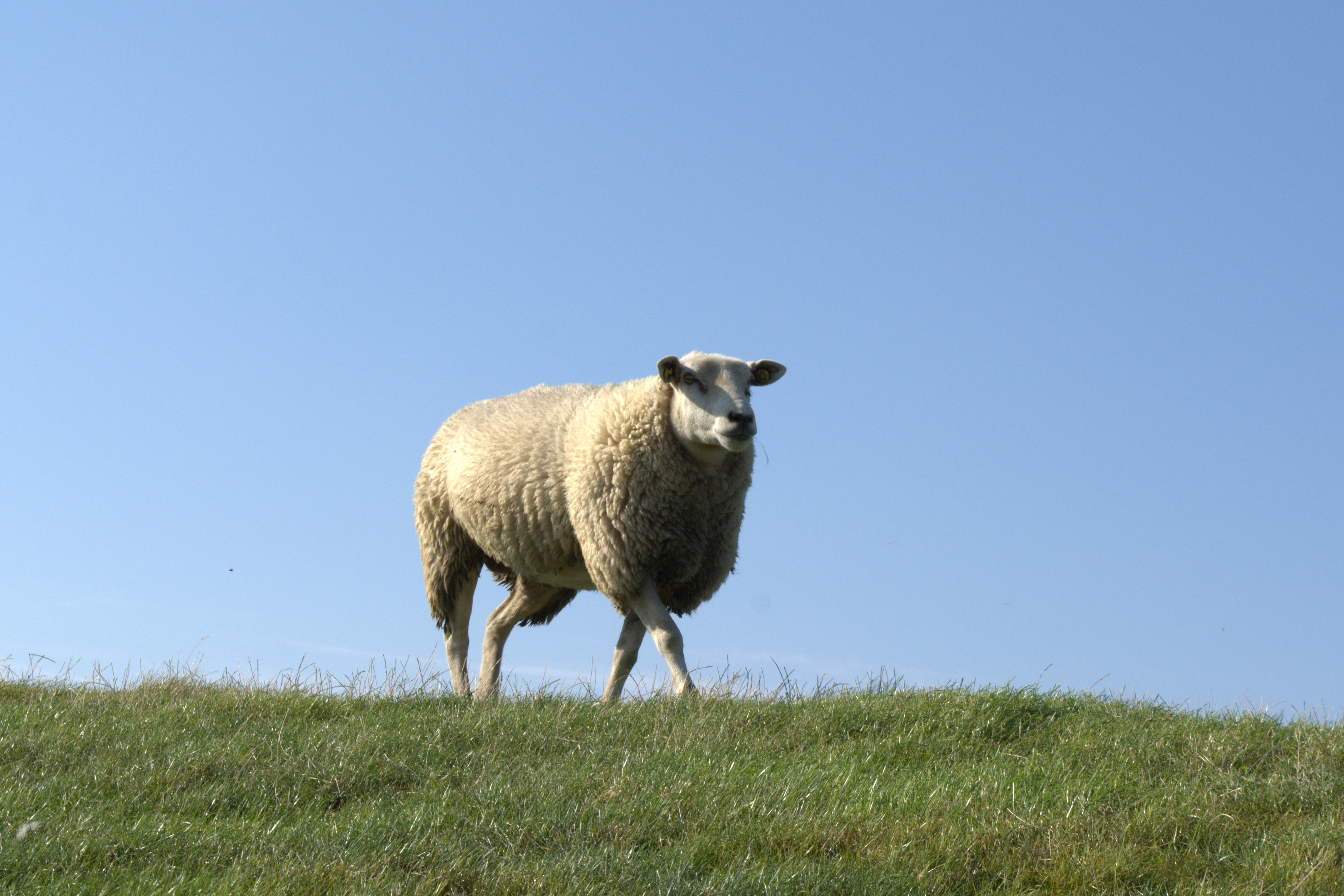 51694 Screensavers and Wallpapers Sheep for phone. Download Animals, Grass, Field, Stroll, Sheep pictures for free