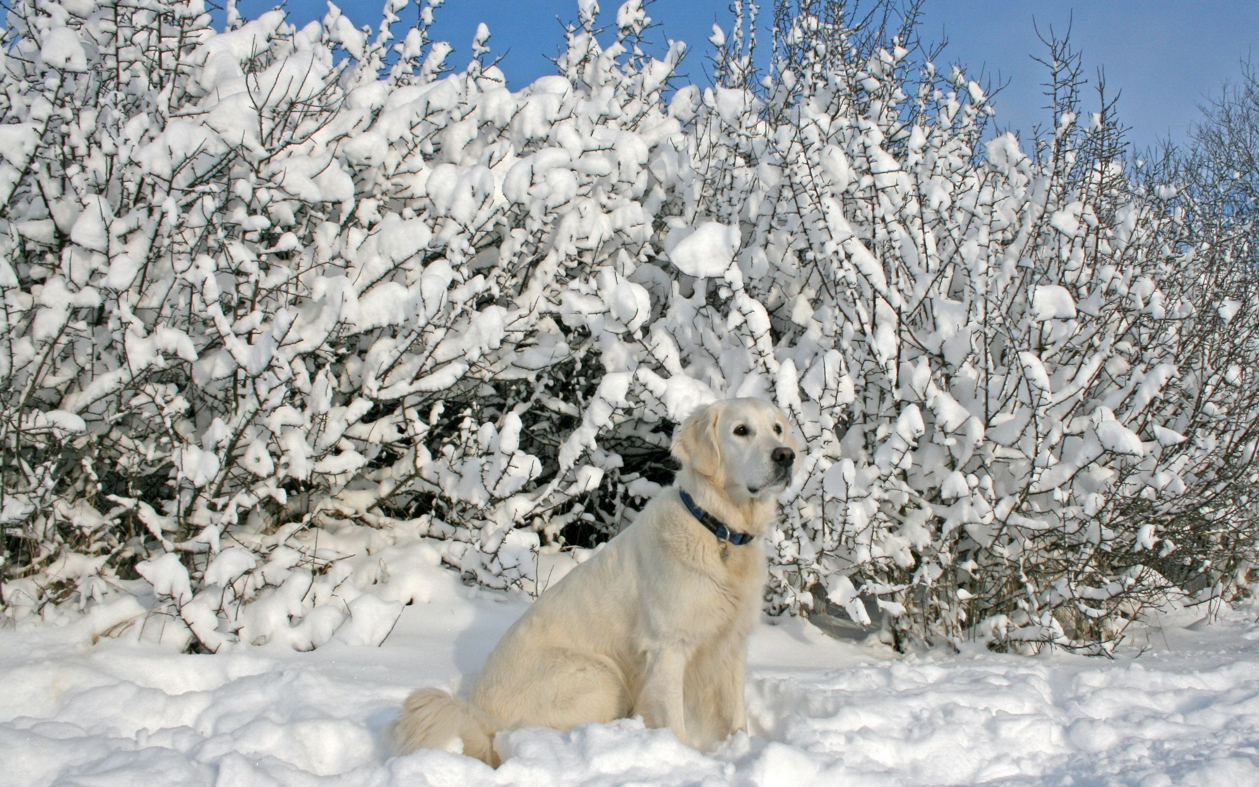 53972 Screensavers and Wallpapers Collar for phone. Download Animals, Trees, Snow, Sit, Dog, Collar pictures for free