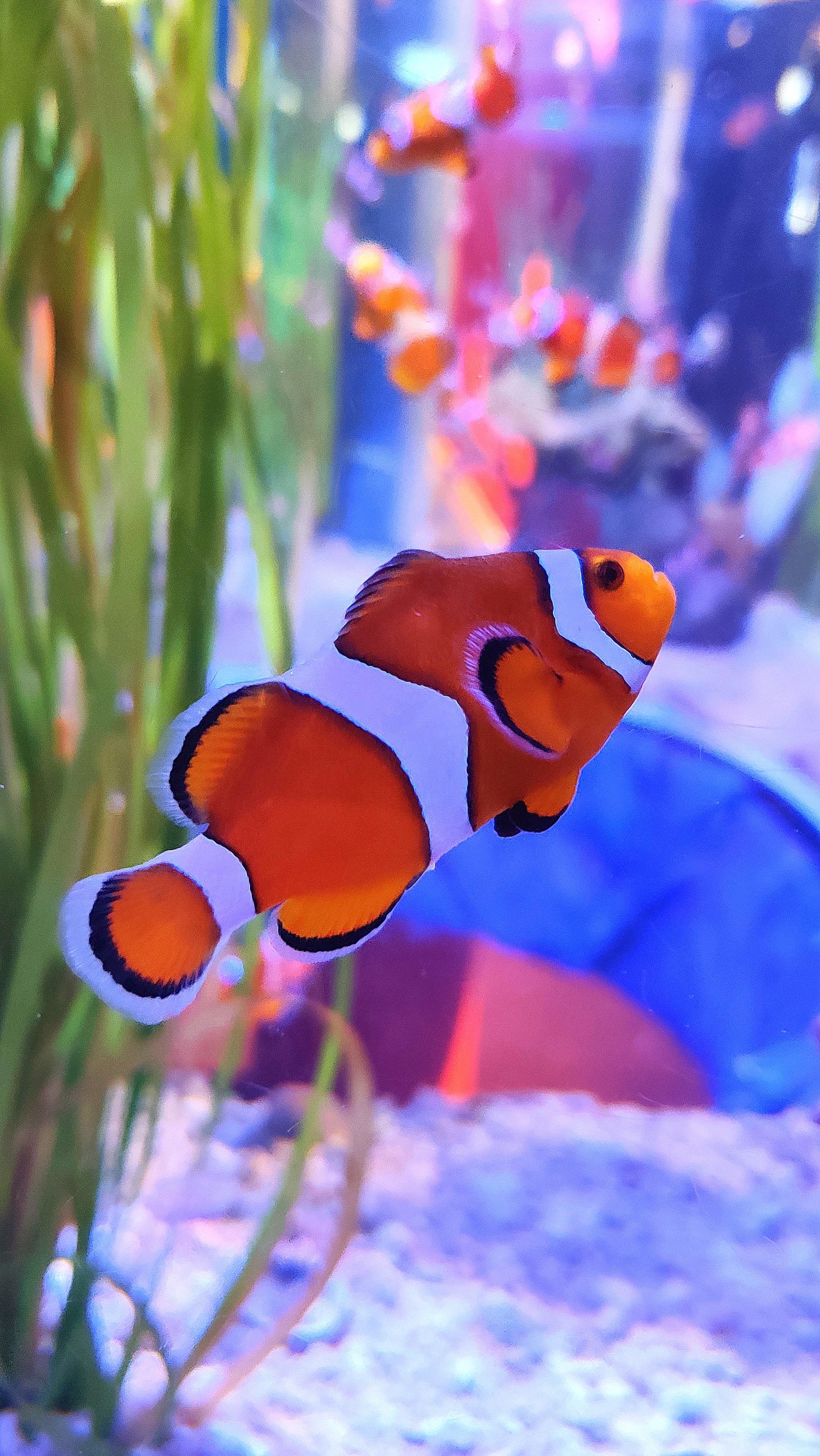 69396 Screensavers and Wallpapers Aquarium for phone. Download Clown Fish, Animals, Aquarium, Fish, Seaweed, Algae, Fish Clown pictures for free