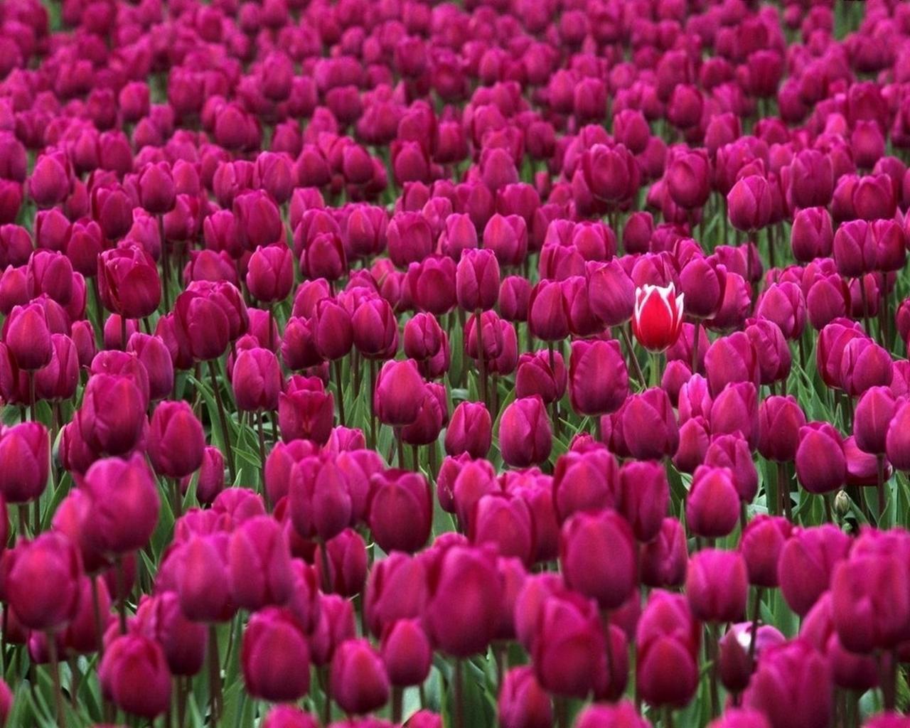 2708 скачать обои Растения, Цветы, Фон, Тюльпаны - заставки и картинки бесплатно