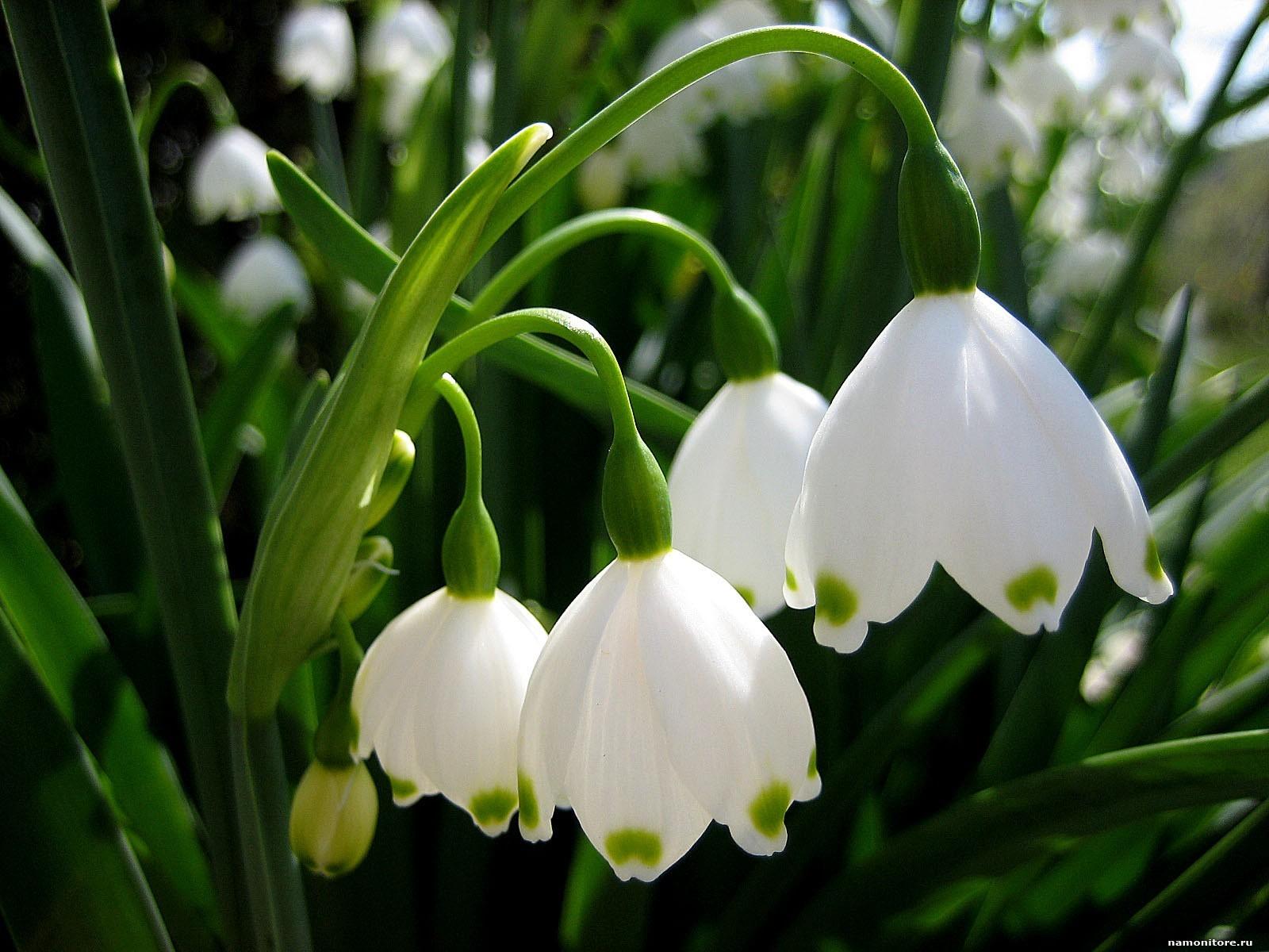 16674 скачать обои Растения, Цветы, Ландыши - заставки и картинки бесплатно
