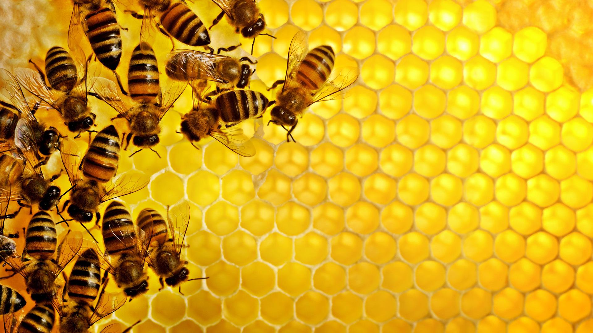 19340 скачать обои Насекомые, Пчелы - заставки и картинки бесплатно