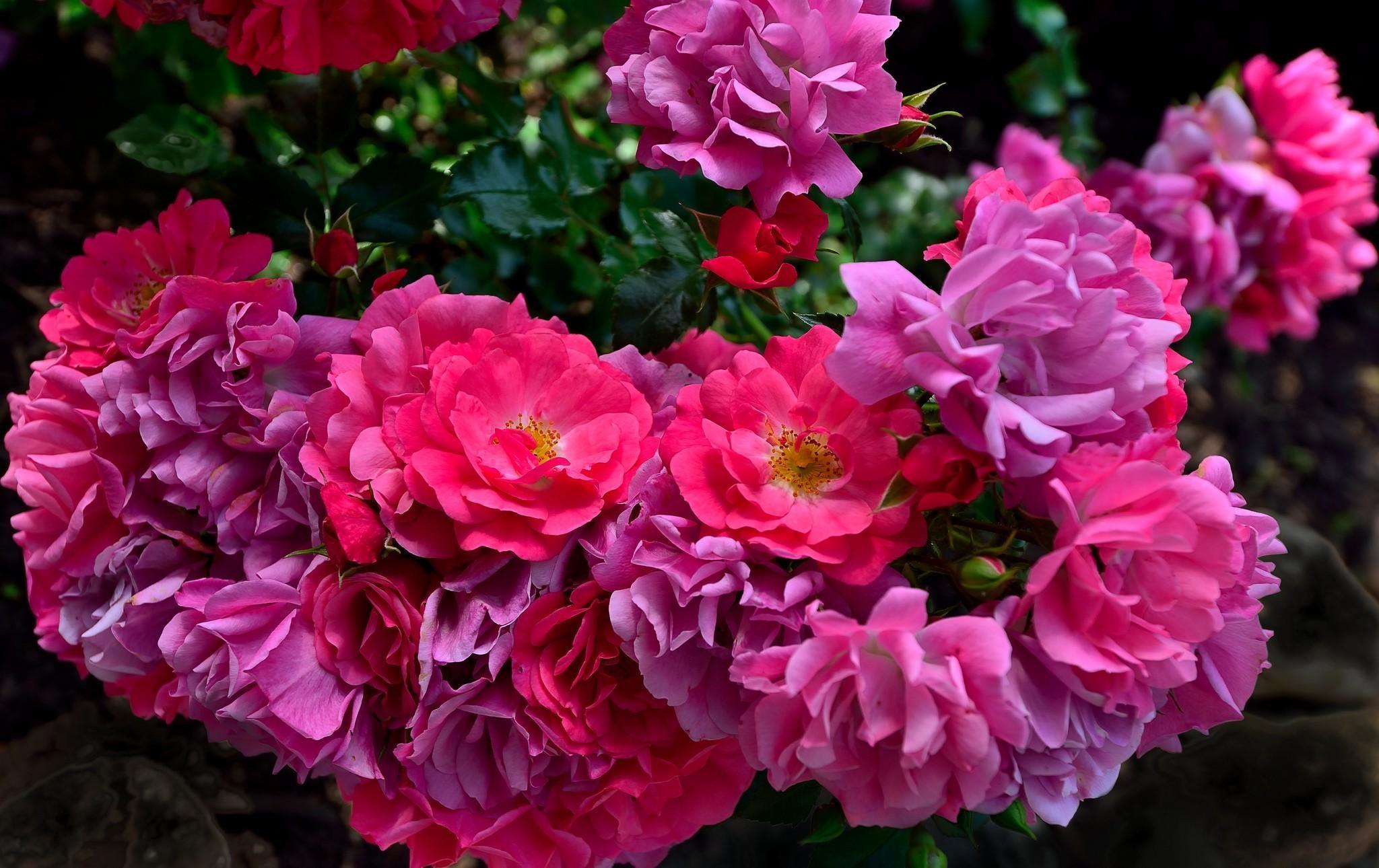 111069 скачать обои Цветы, Распущенные, Сад, Размытость, Розы - заставки и картинки бесплатно