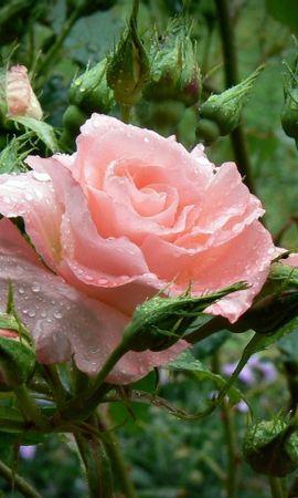 28182 скачать обои Растения, Цветы, Розы, Капли - заставки и картинки бесплатно
