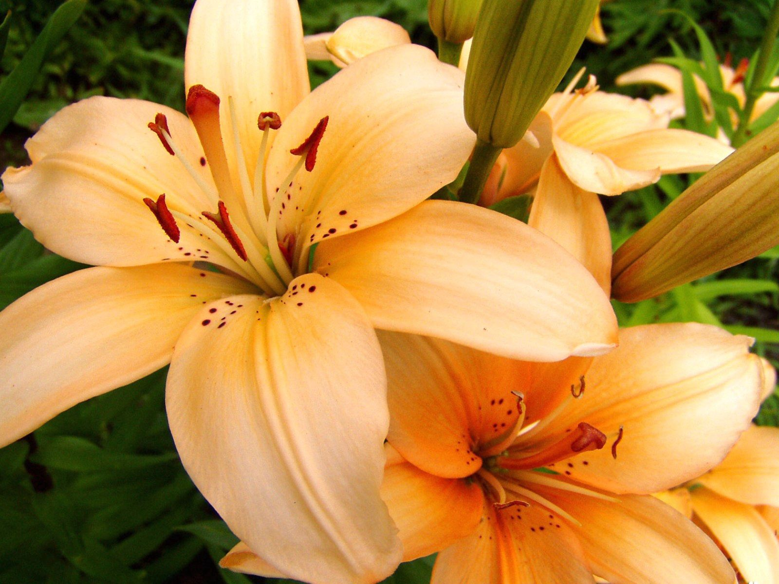 110057 скачать обои Цветы, Лилии, Тычинки, Лепестки, Бутоны, Крупный План - заставки и картинки бесплатно