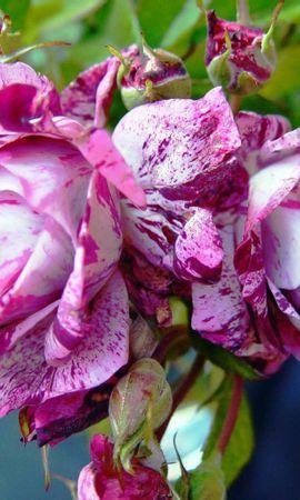 25345 скачать обои Растения, Цветы, Розы - заставки и картинки бесплатно
