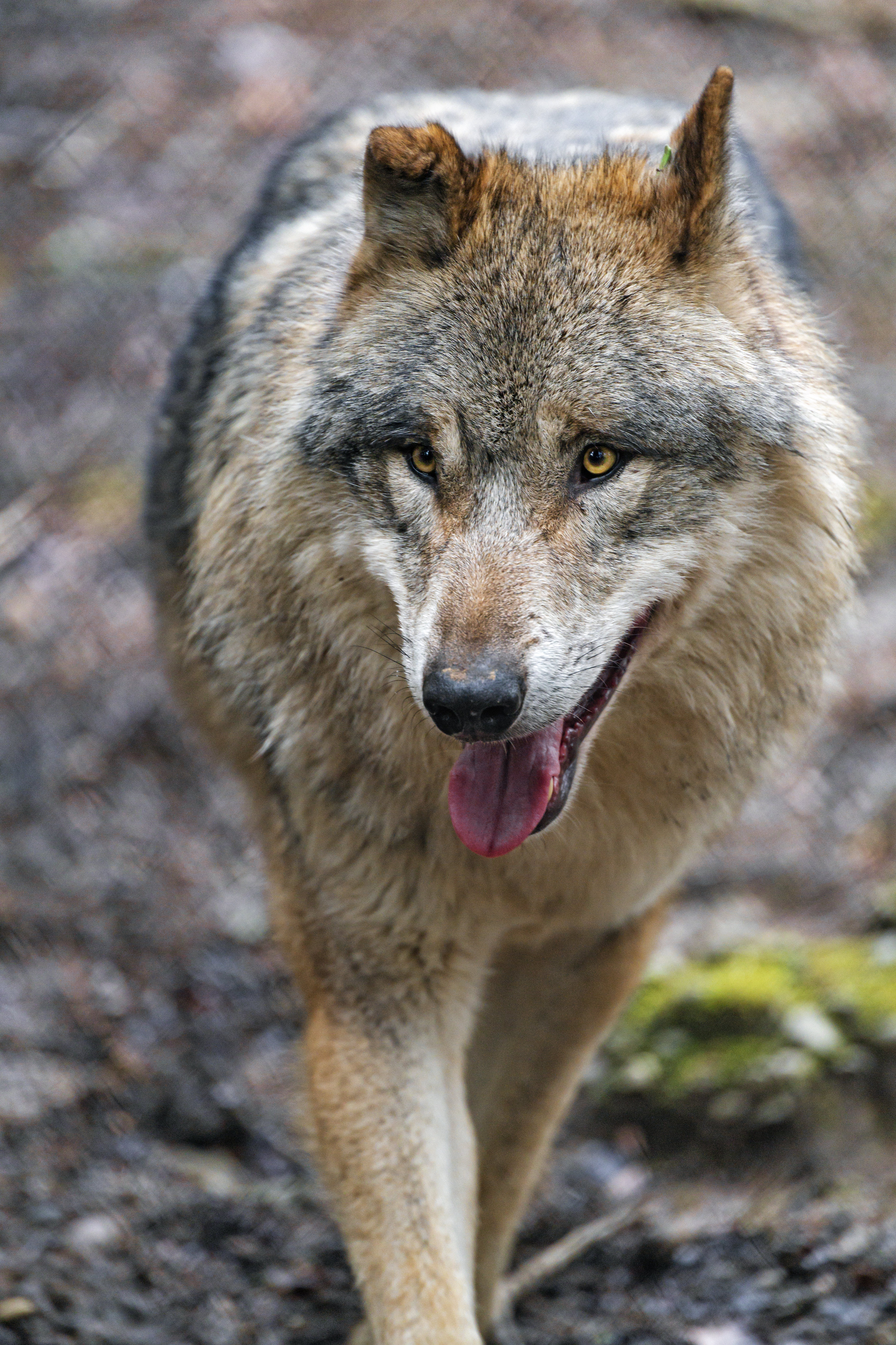 112707 download wallpaper Animals, Wolf, Predator, Protruding Tongue, Tongue Stuck Out, Sight, Opinion screensavers and pictures for free