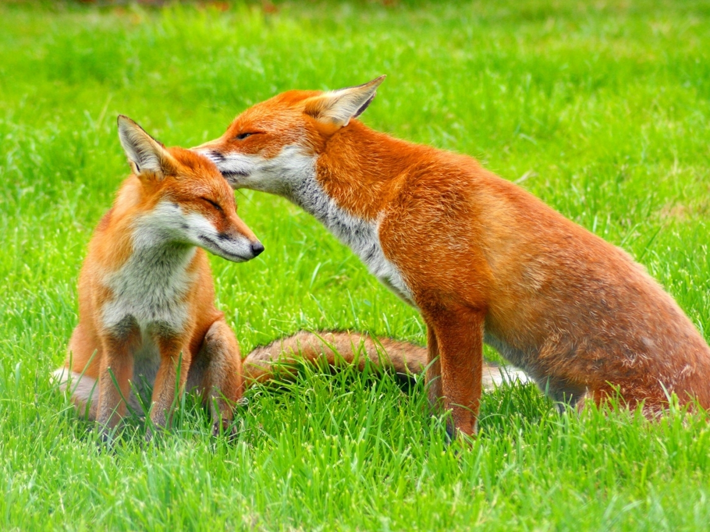 23734 download wallpaper Animals, Fox screensavers and pictures for free
