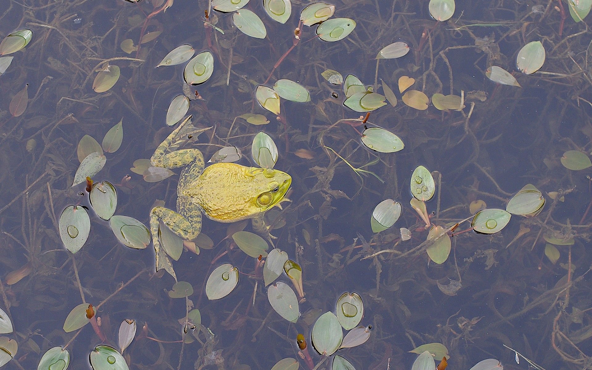 153345 download wallpaper Animals, Frog, Leaves, To Swim, Swim screensavers and pictures for free