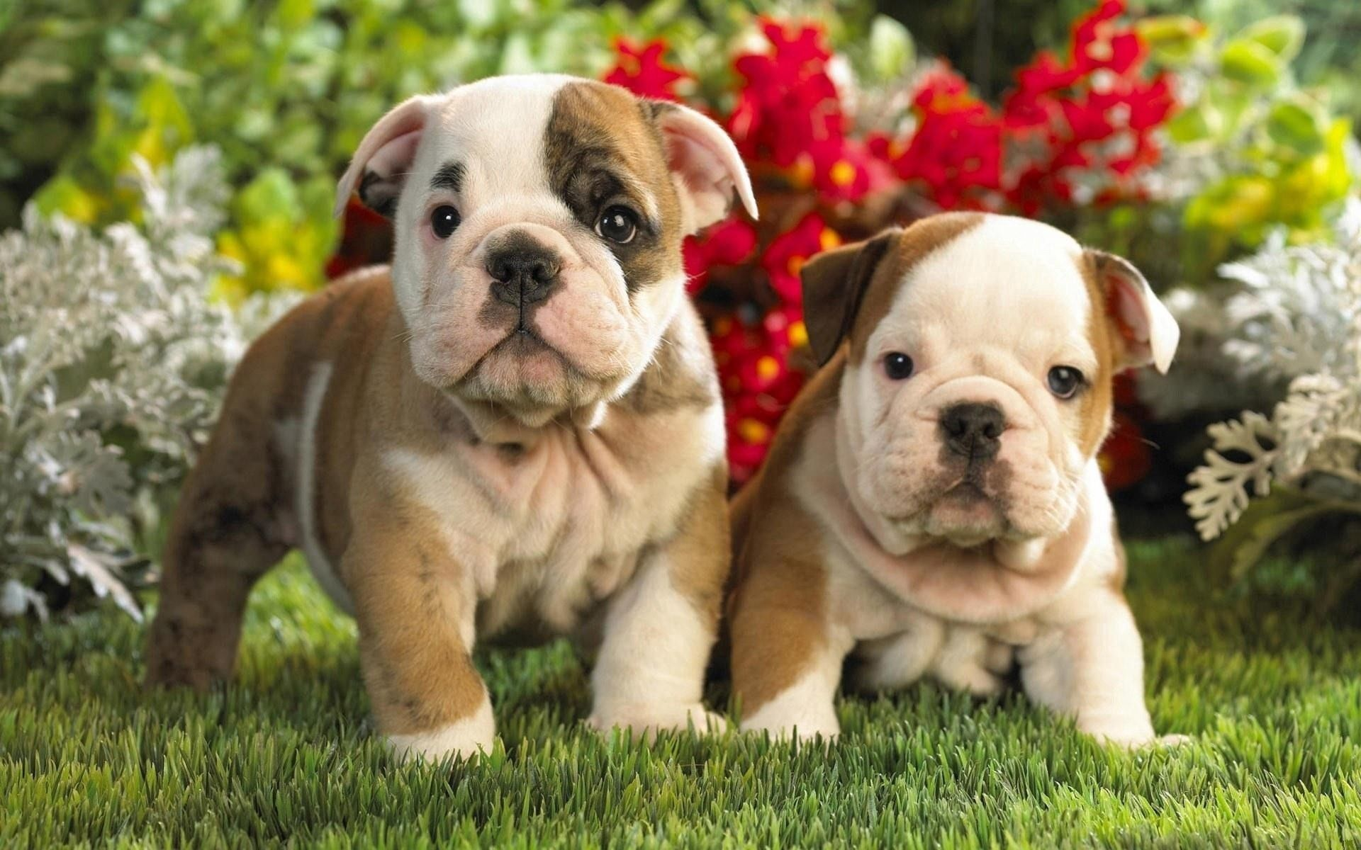 153319 download wallpaper Animals, Puppies, English Bulldog, Toddlers, Kids, Couple, Pair screensavers and pictures for free