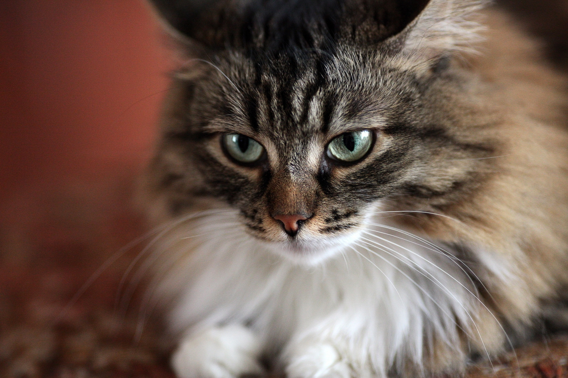 59596 download wallpaper Animals, Cat, Muzzle, Fluffy, Sight, Opinion, Sad screensavers and pictures for free