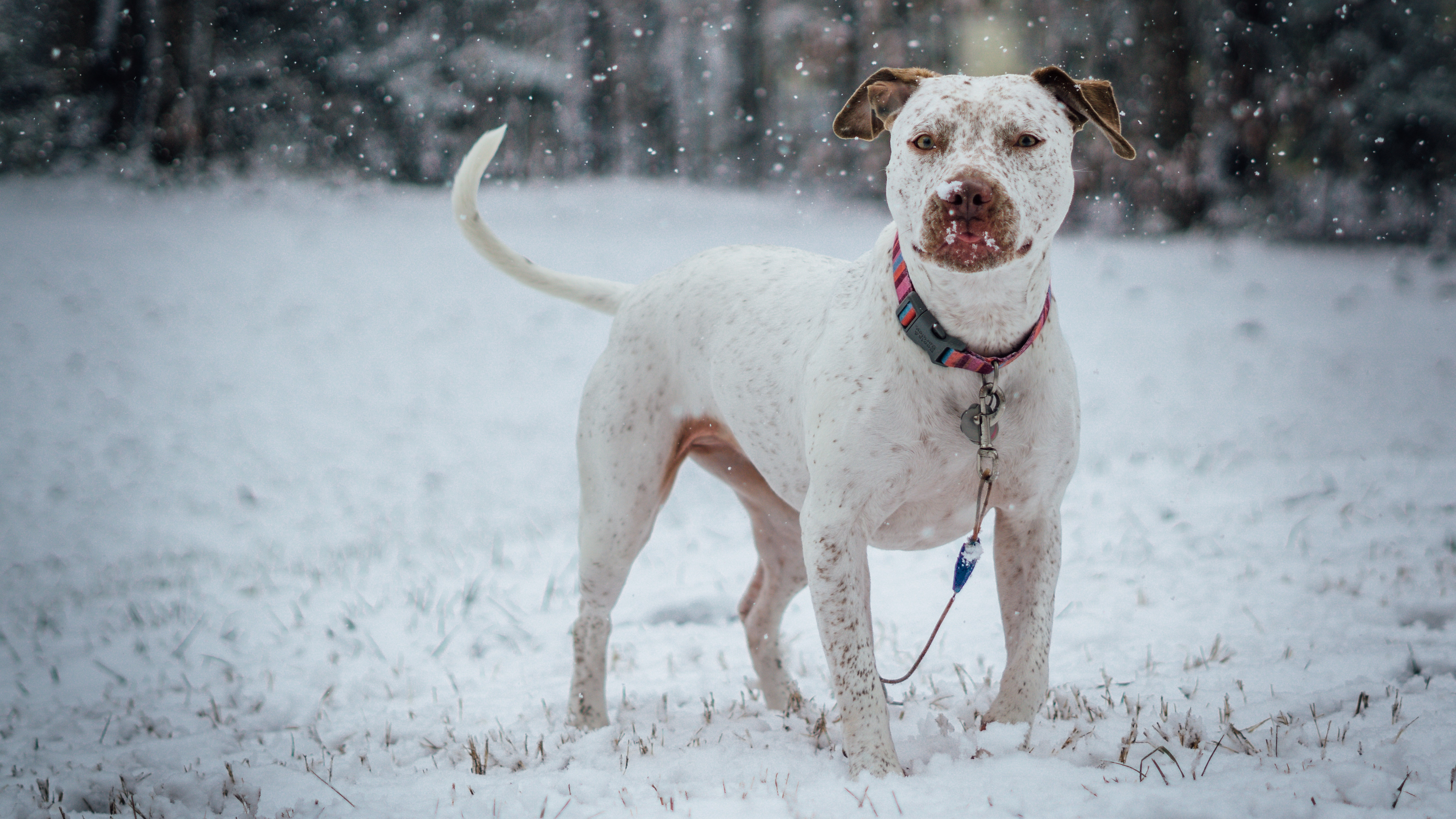 88161 Screensavers and Wallpapers Collar for phone. Download Animals, Snow, Dog, Collar, Pit Bull Terrier, Pitbull Terrier pictures for free