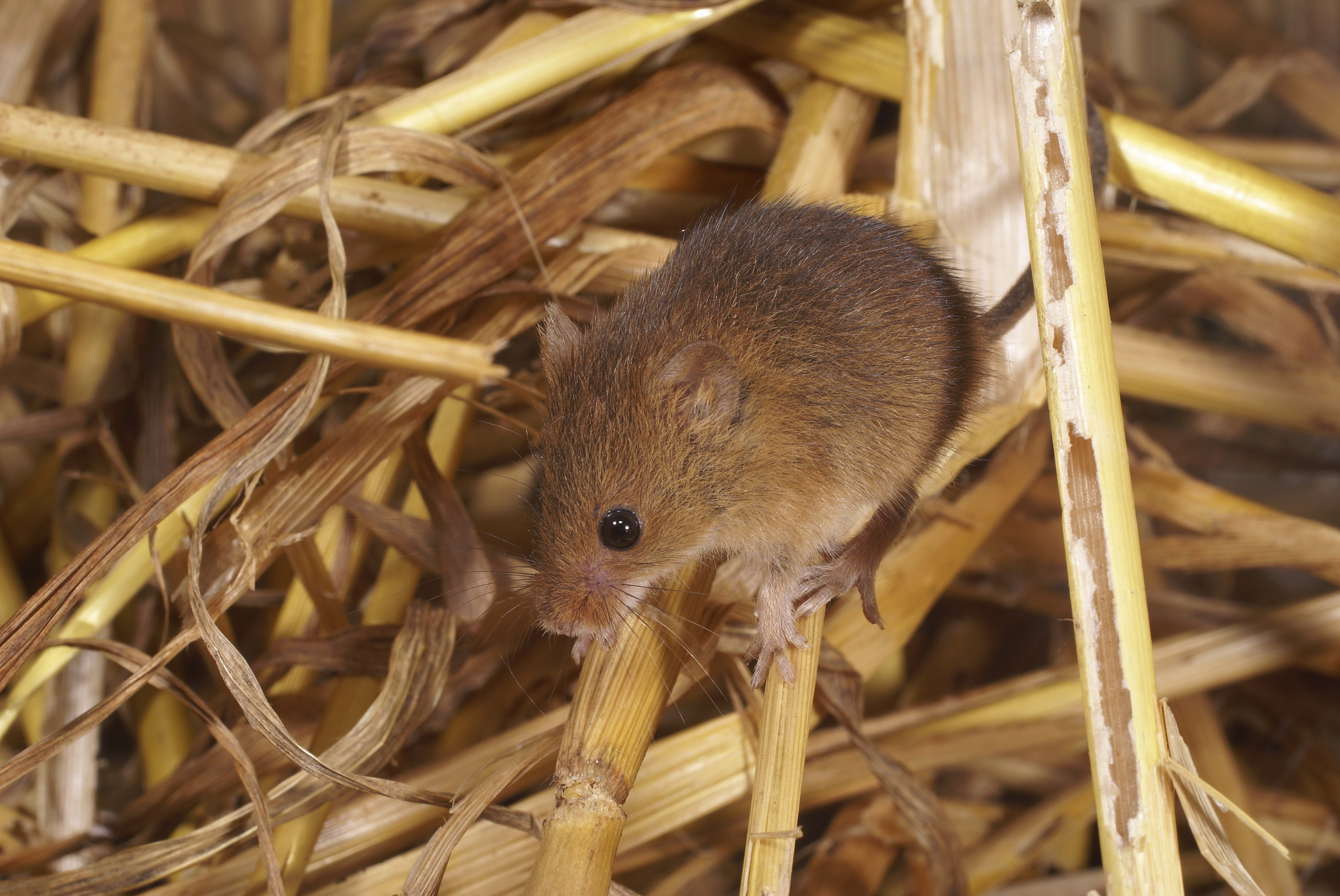 156311 download wallpaper Animals, Mouse, Mammal, Rodent screensavers and pictures for free