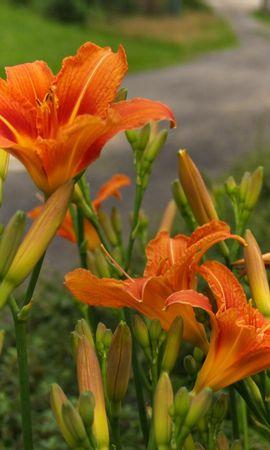 123903 скачать обои Цветы, Лилии, Дорога, Размытость - заставки и картинки бесплатно