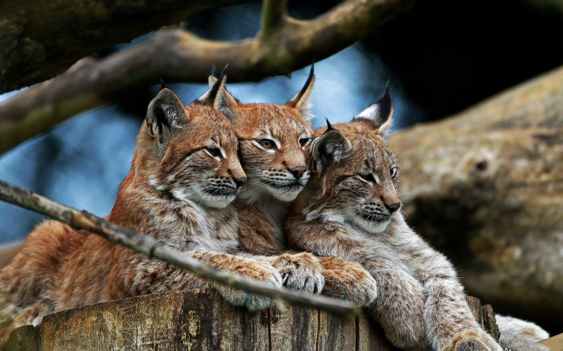 57733 download wallpaper Animals, Three, To Lie Down, Lie, Hide, Bobcats screensavers and pictures for free