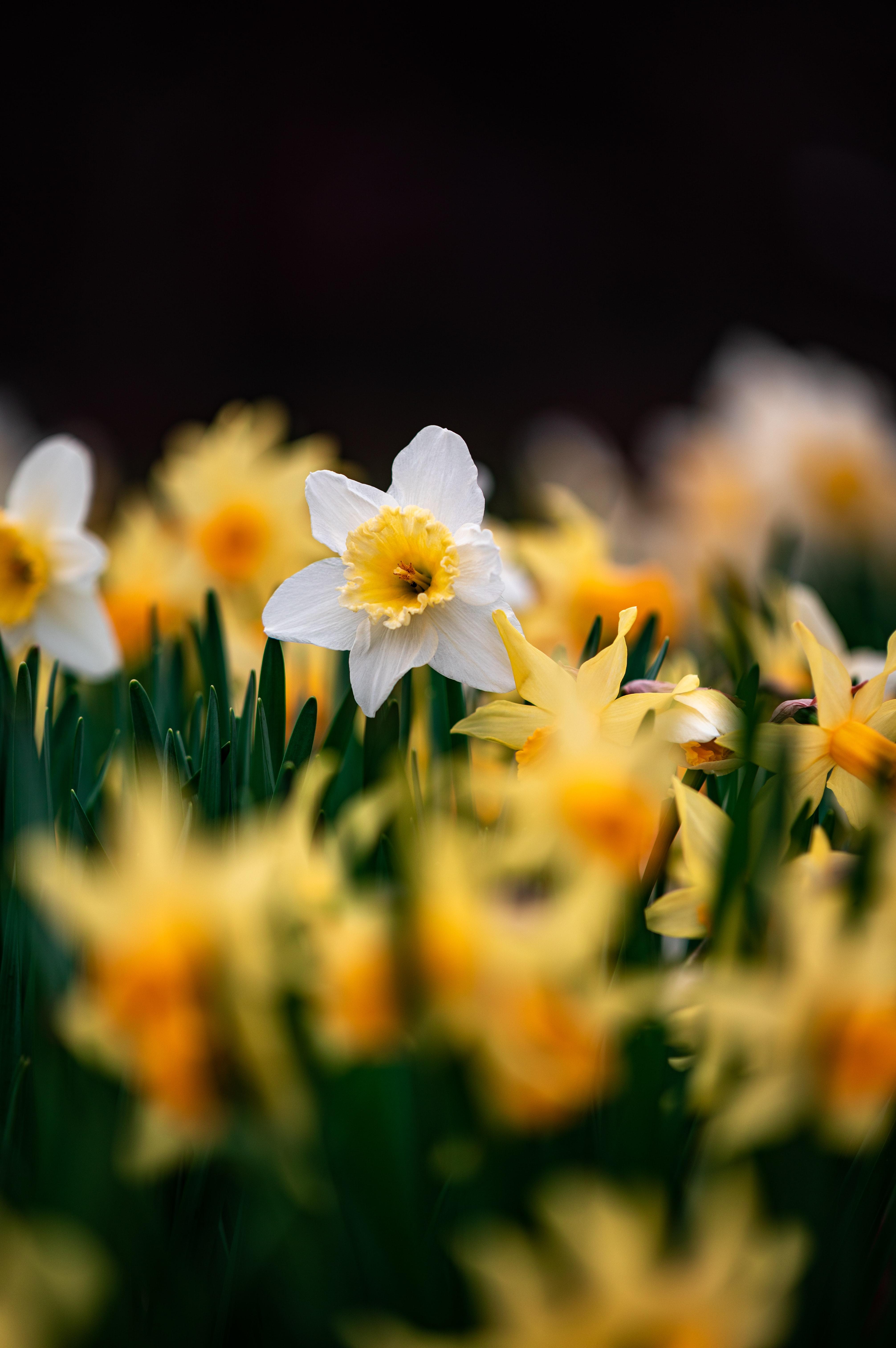 128040 Заставки и Обои Нарциссы на телефон. Скачать Цветы, Нарциссы, Макро, Фокус картинки бесплатно