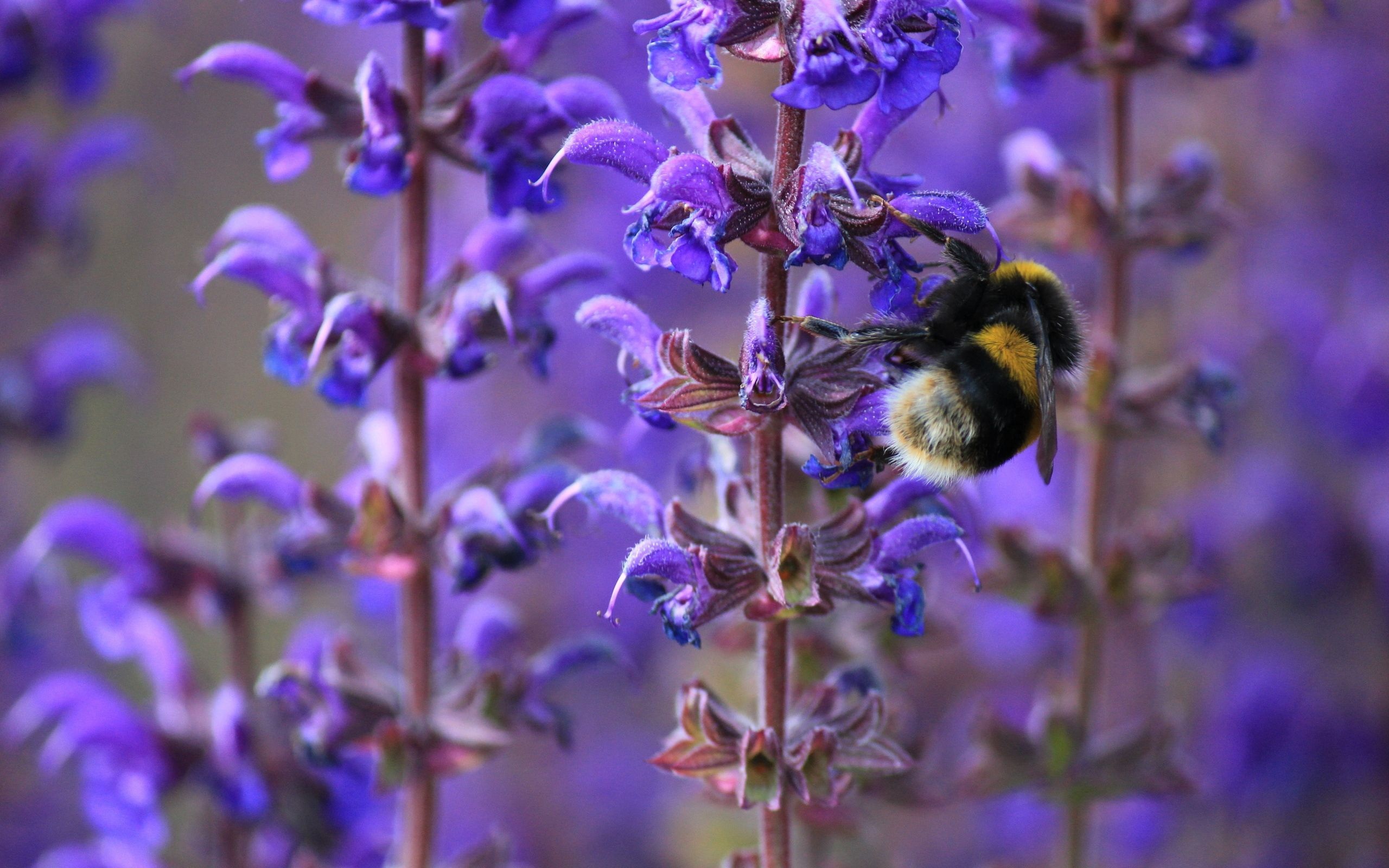 112239 Screensavers and Wallpapers Lilac for phone. Download Flowers, Lilac, Macro, Insect, Bee, Purple, Spring, Bumblebee pictures for free